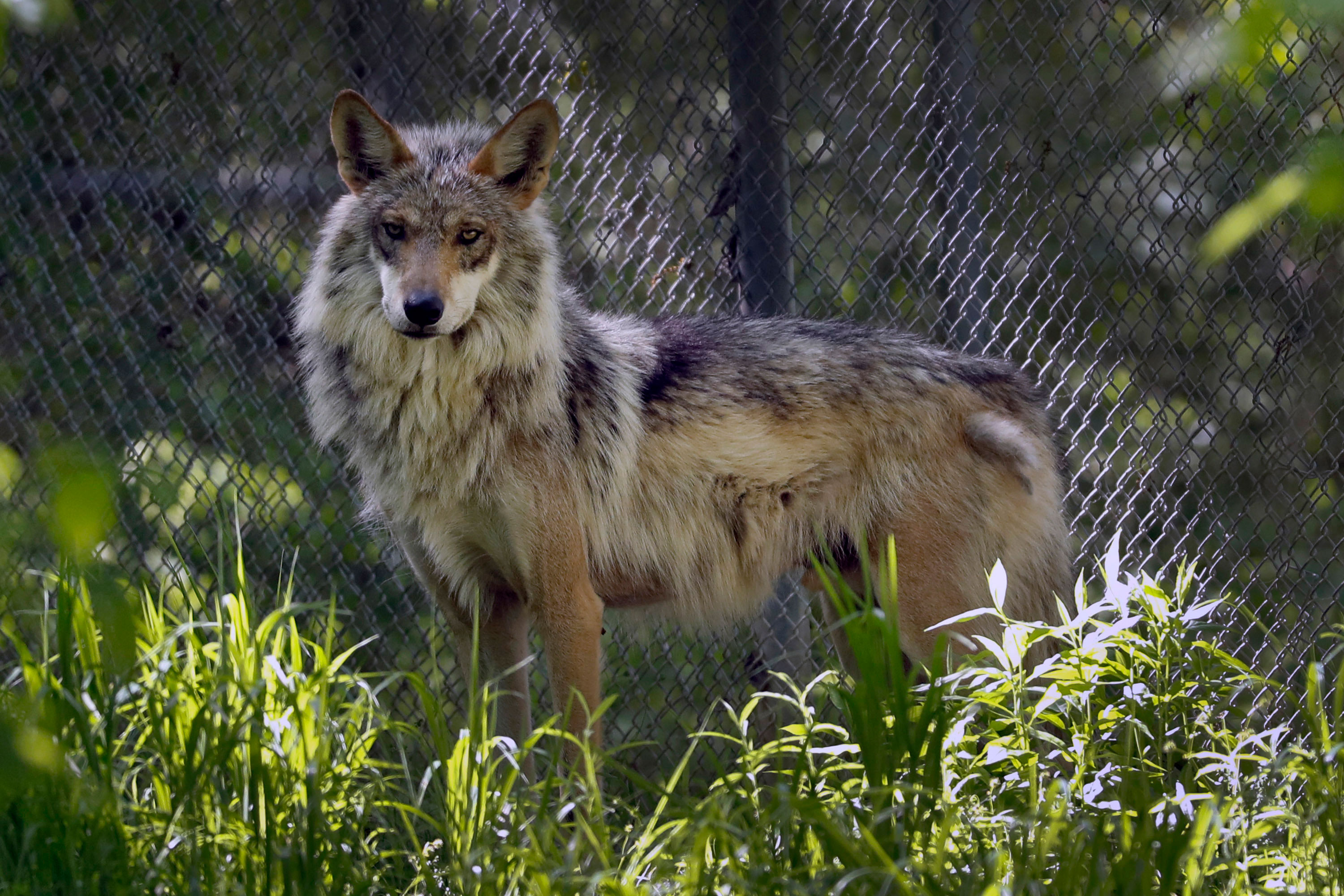 Photo: Illegal Endangered Wolf Killings | Mexican gray wolf - AP