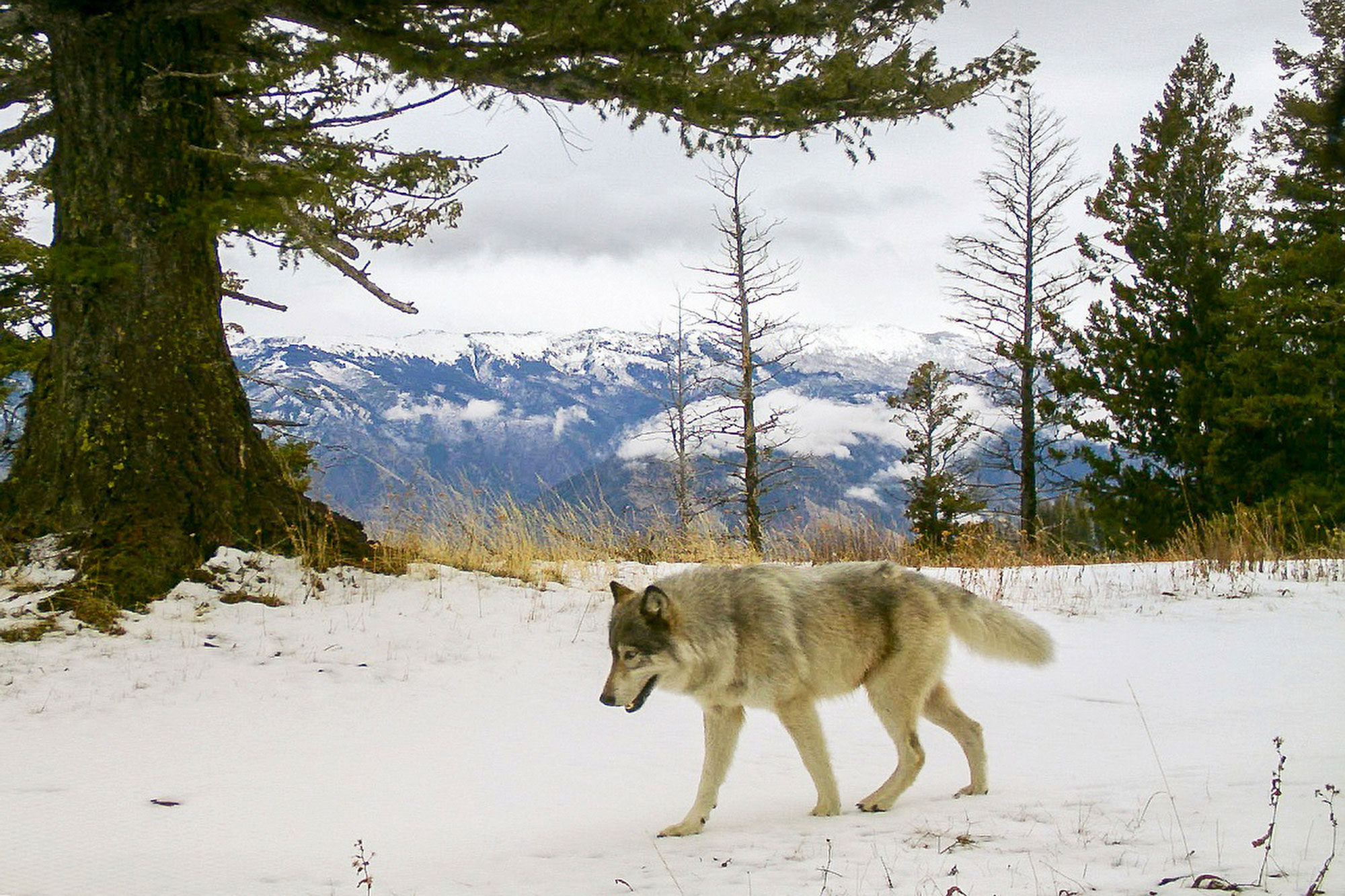 In this Dec. 4, 2014 file photo released by the Oregon Department of Fish and Wildlife, a wolf from the Snake River Pack passes by a remote camera in eastern Wallowa County, Ore.