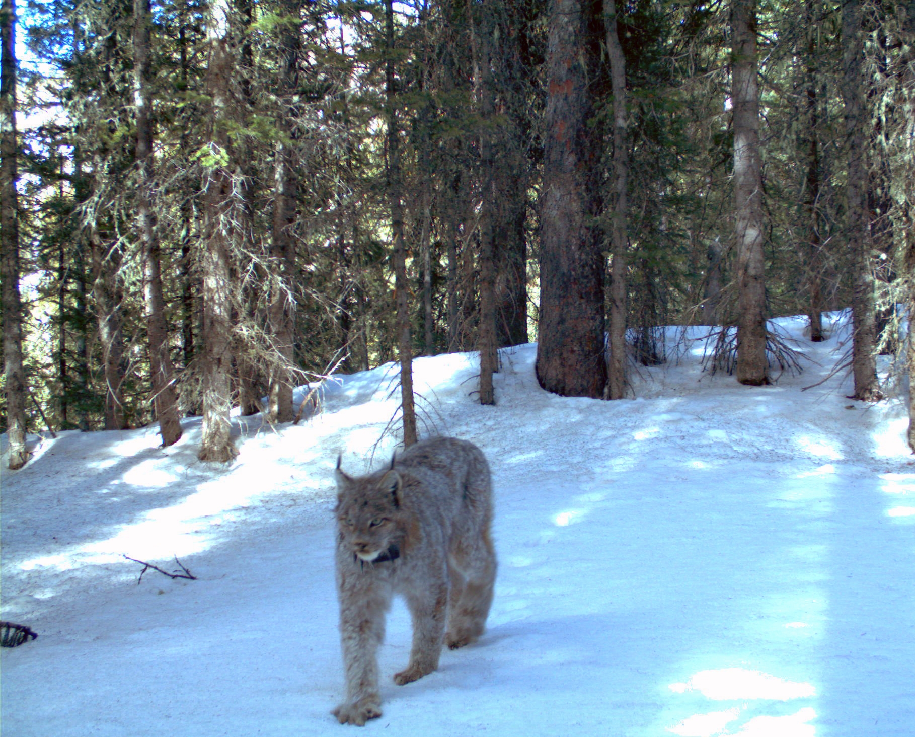 Photo: Rare lynx in San Juans (AP Photo)