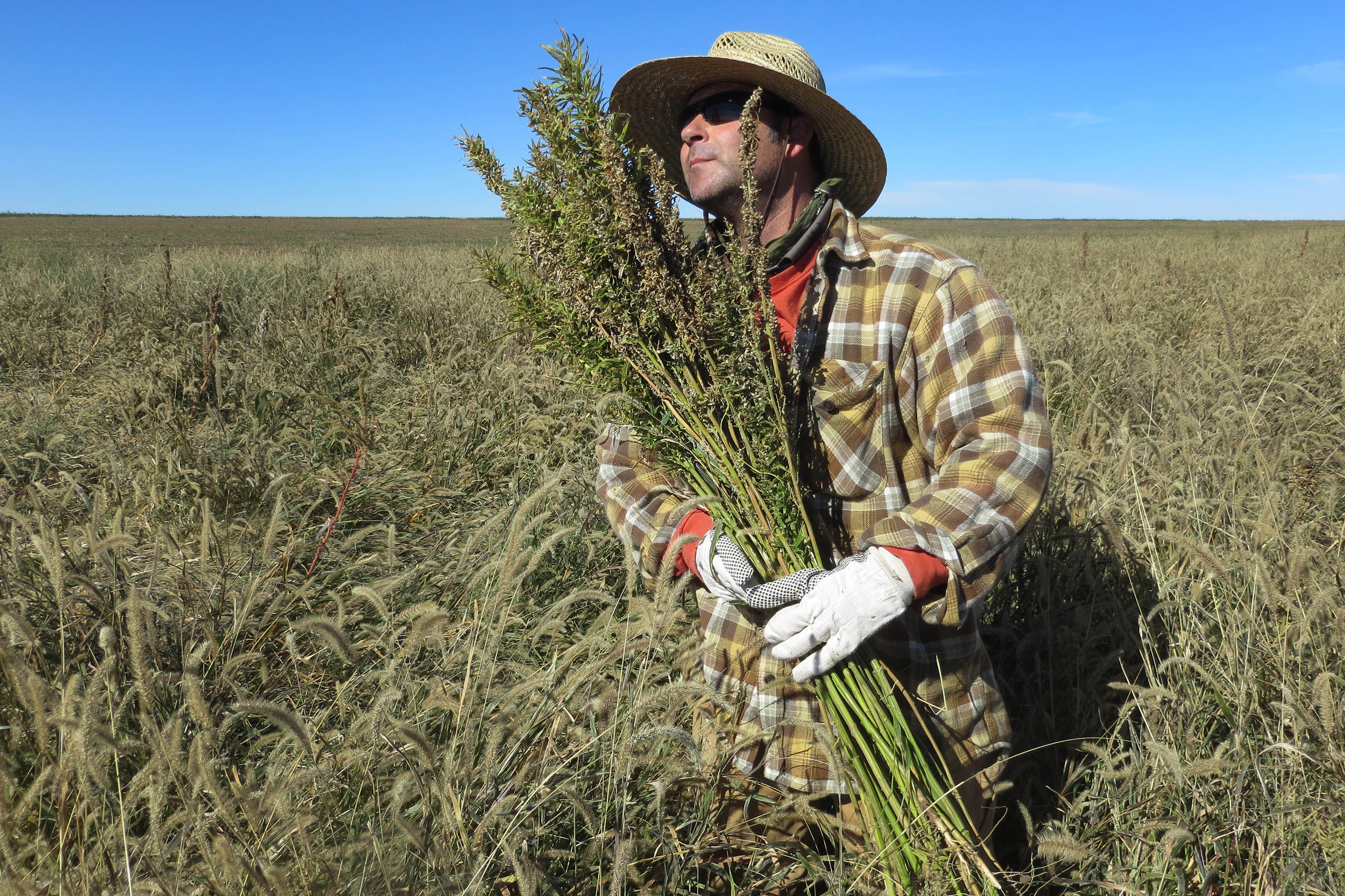 Photo: Harvesting Hemp In Springfield, Colorado