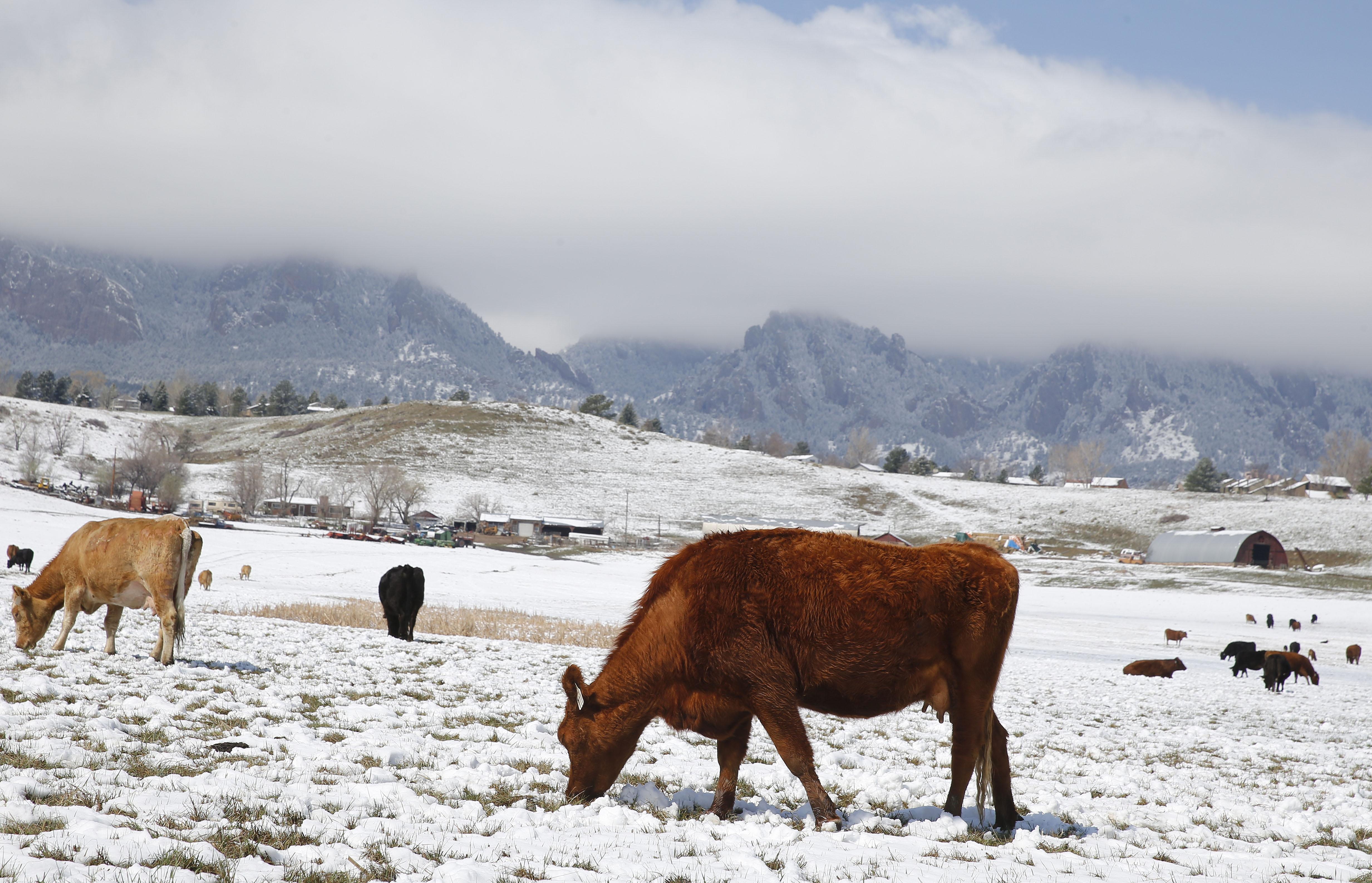 <p>Cows graze on a farm after a light snow, near Eldorado Springs, Colo. in a file photo.</p>
