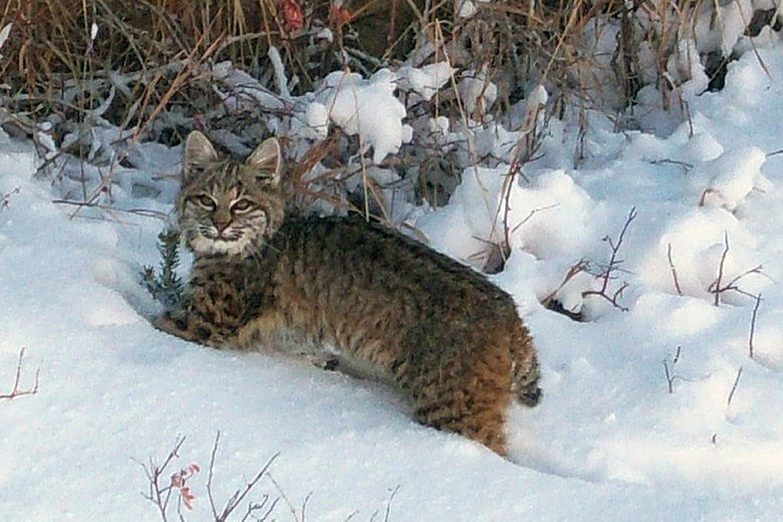 Photo: Bobcat