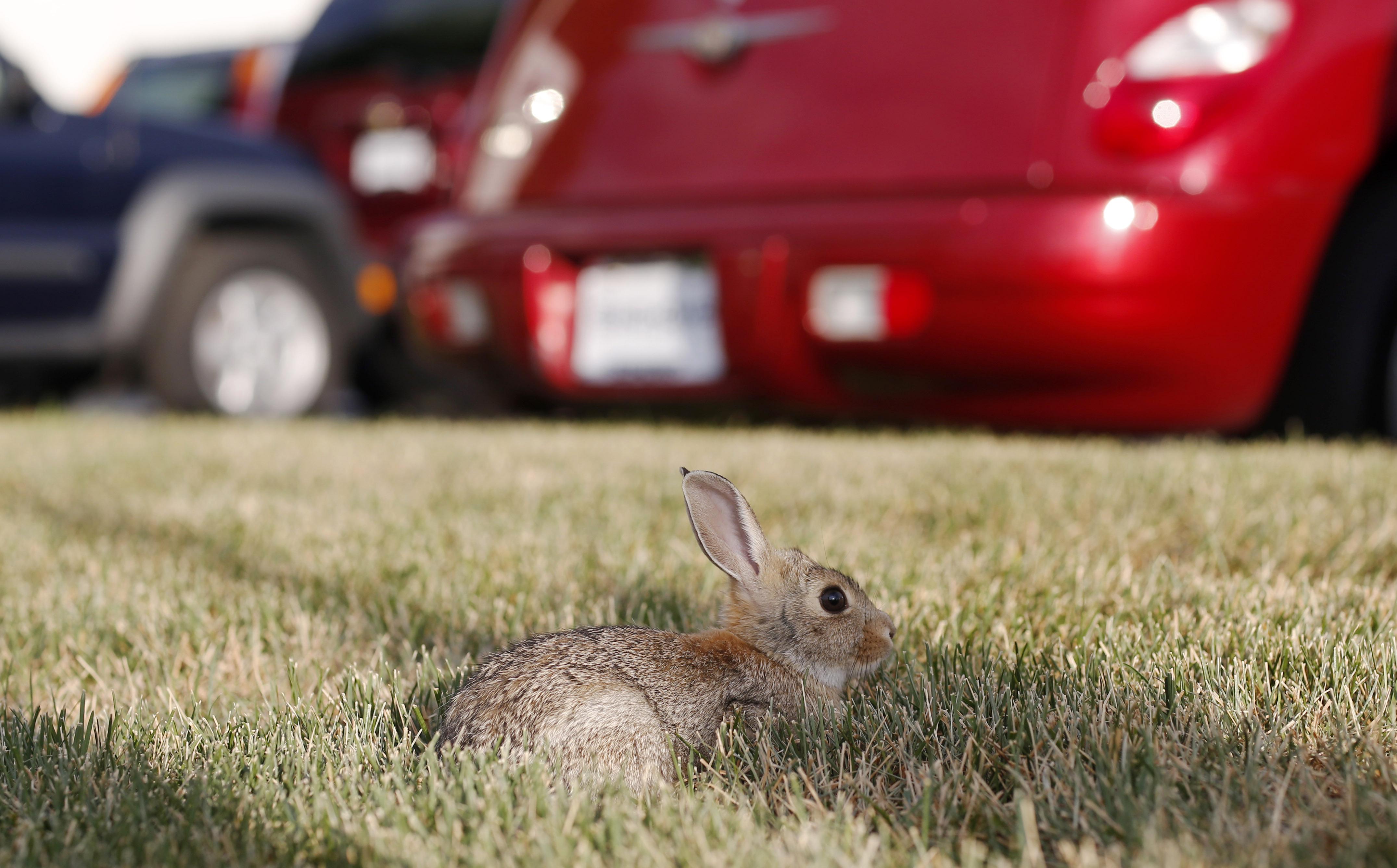 Photo: Rabbit in Littleton (AP Photo)