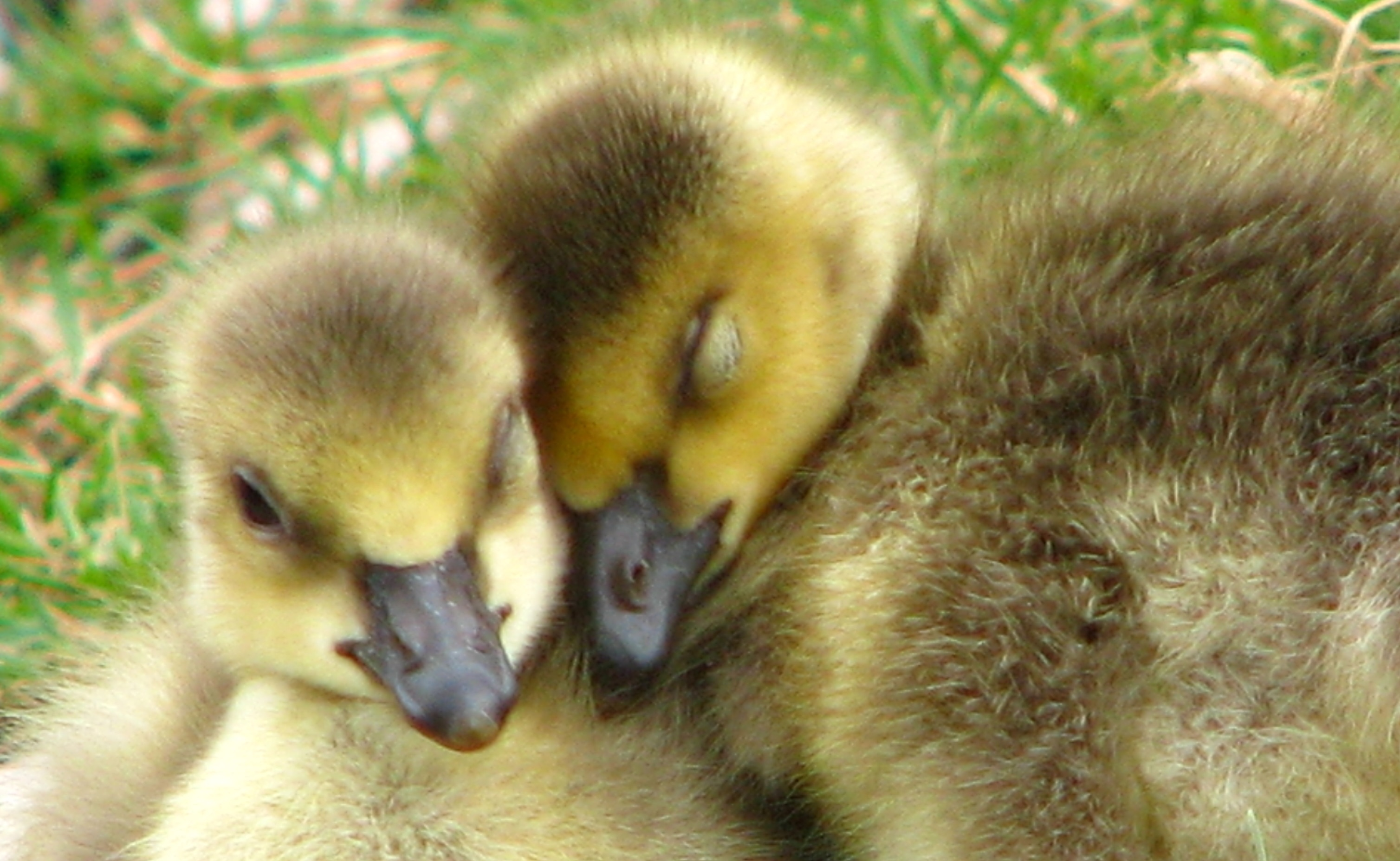 When Baby Geese Are Orphaned, This Wildlife Center Finds
