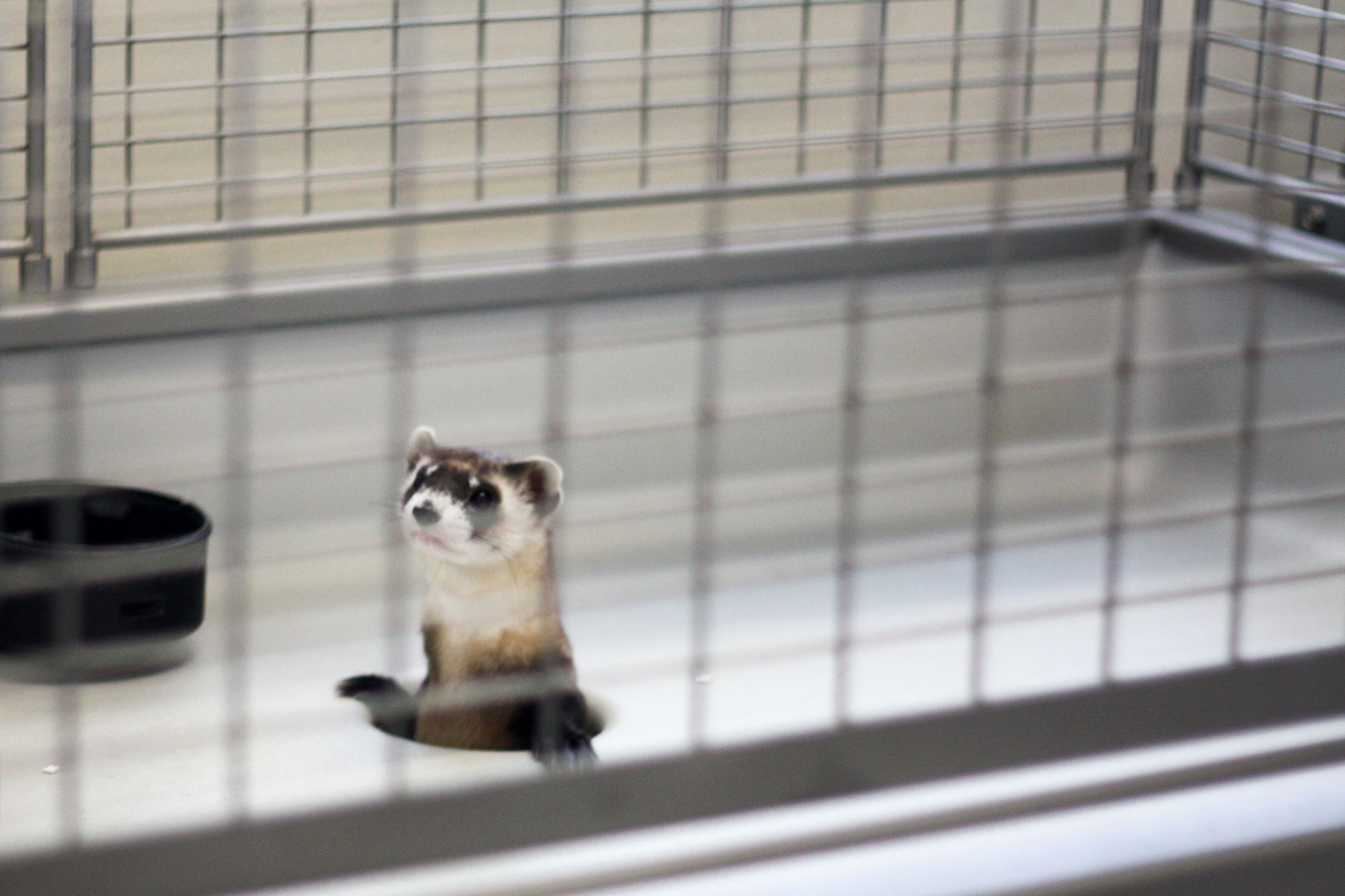 Photo: Black-Footed Ferret Day 1 | Cage At NBFFCC - USFWS