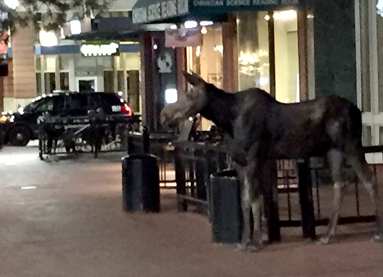 Photo: Moose on Boulder's Pearl Street Mall