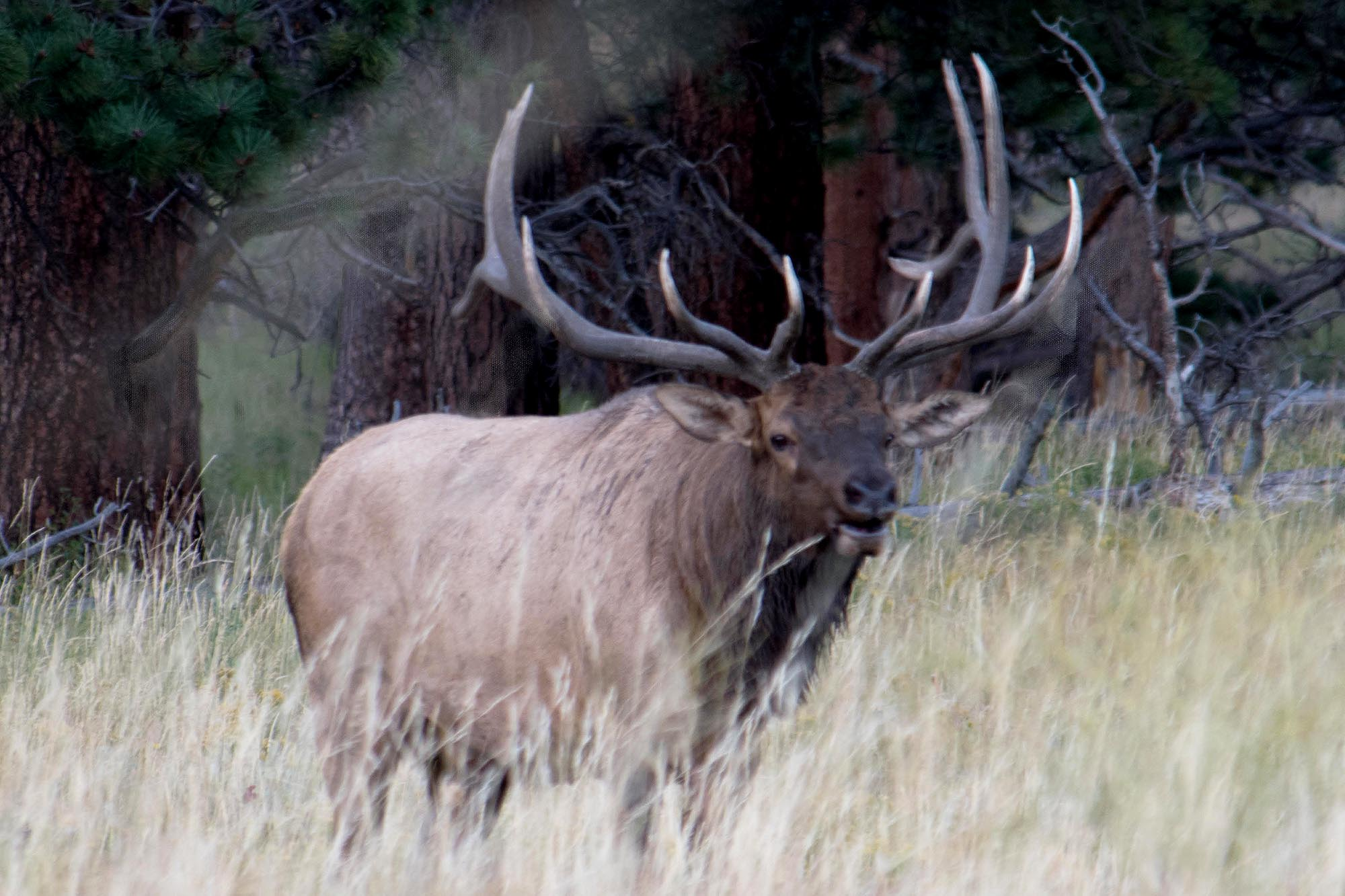 <p>A bull elk in Rocky Mountain National Park.</p>