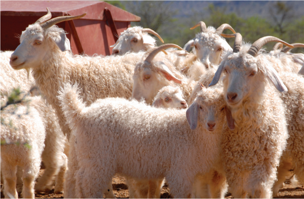Photo: Angora Goats, Texas