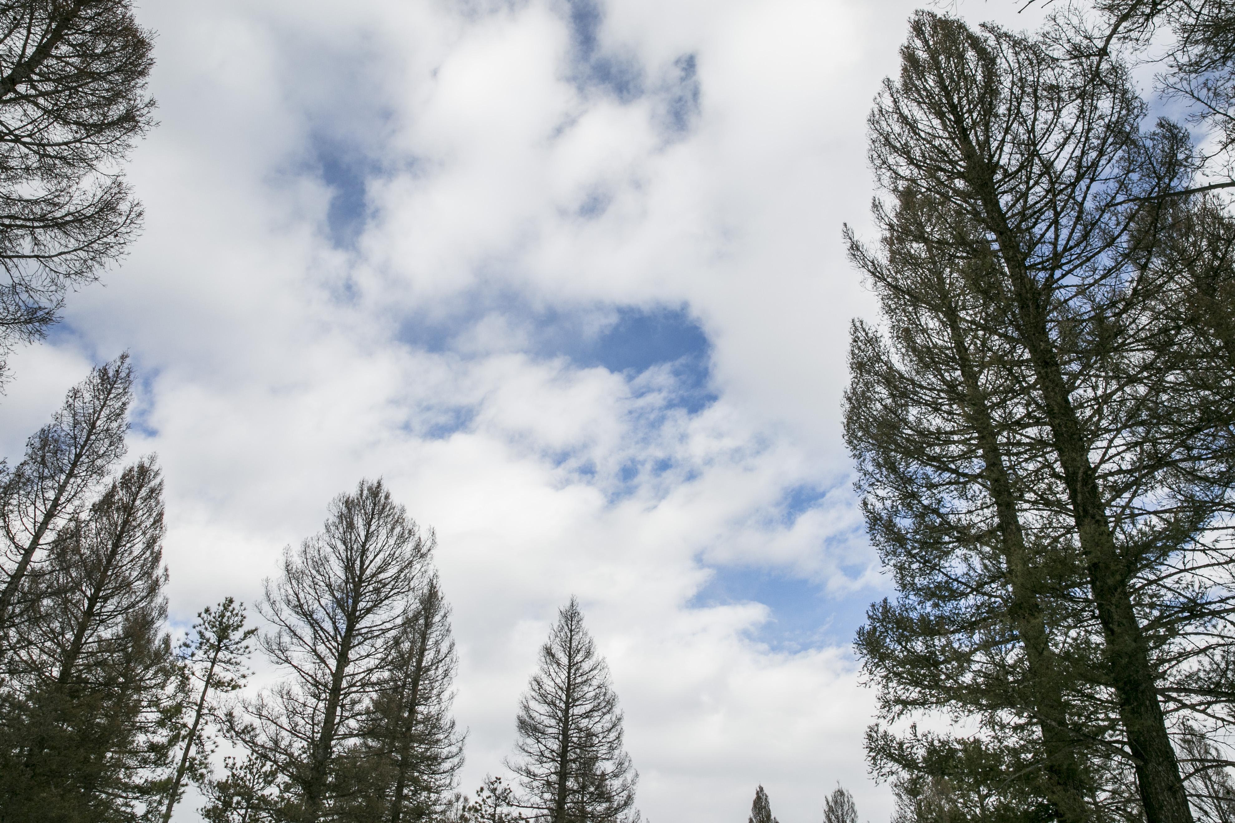 Photo: Christmas Trees 4 | Naked Ponderosa pines
