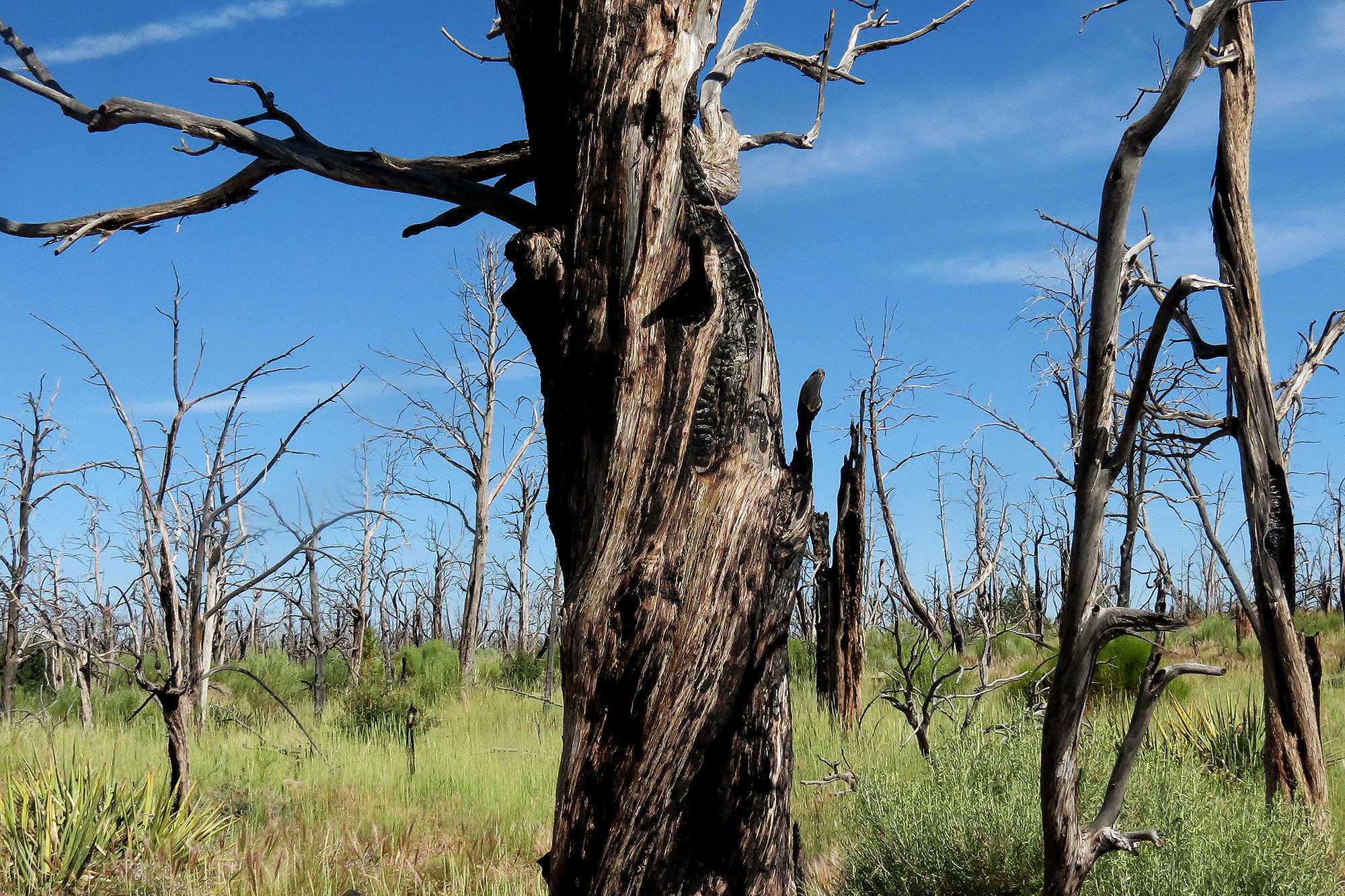 Photo: Fire-damaged trees at Mesa Verde National Park
