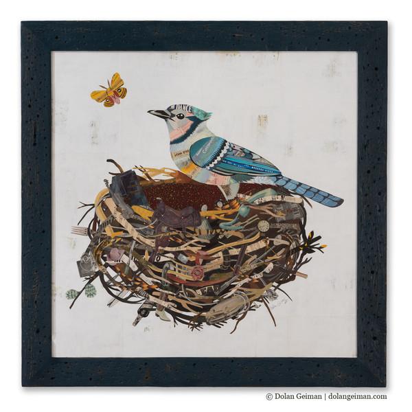 Photo: Colorado Blue Jay by Dolan Geiman