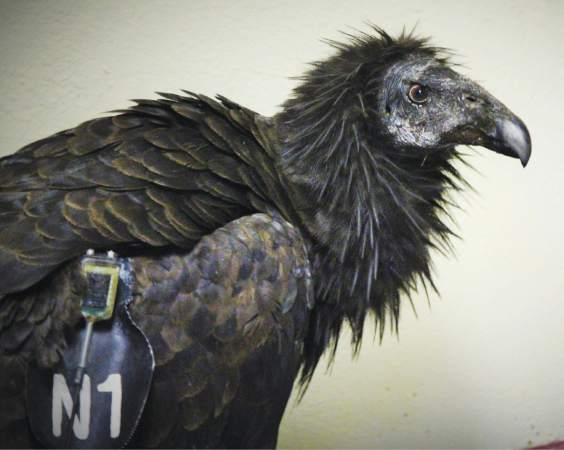Photo: Condor in Pueblo