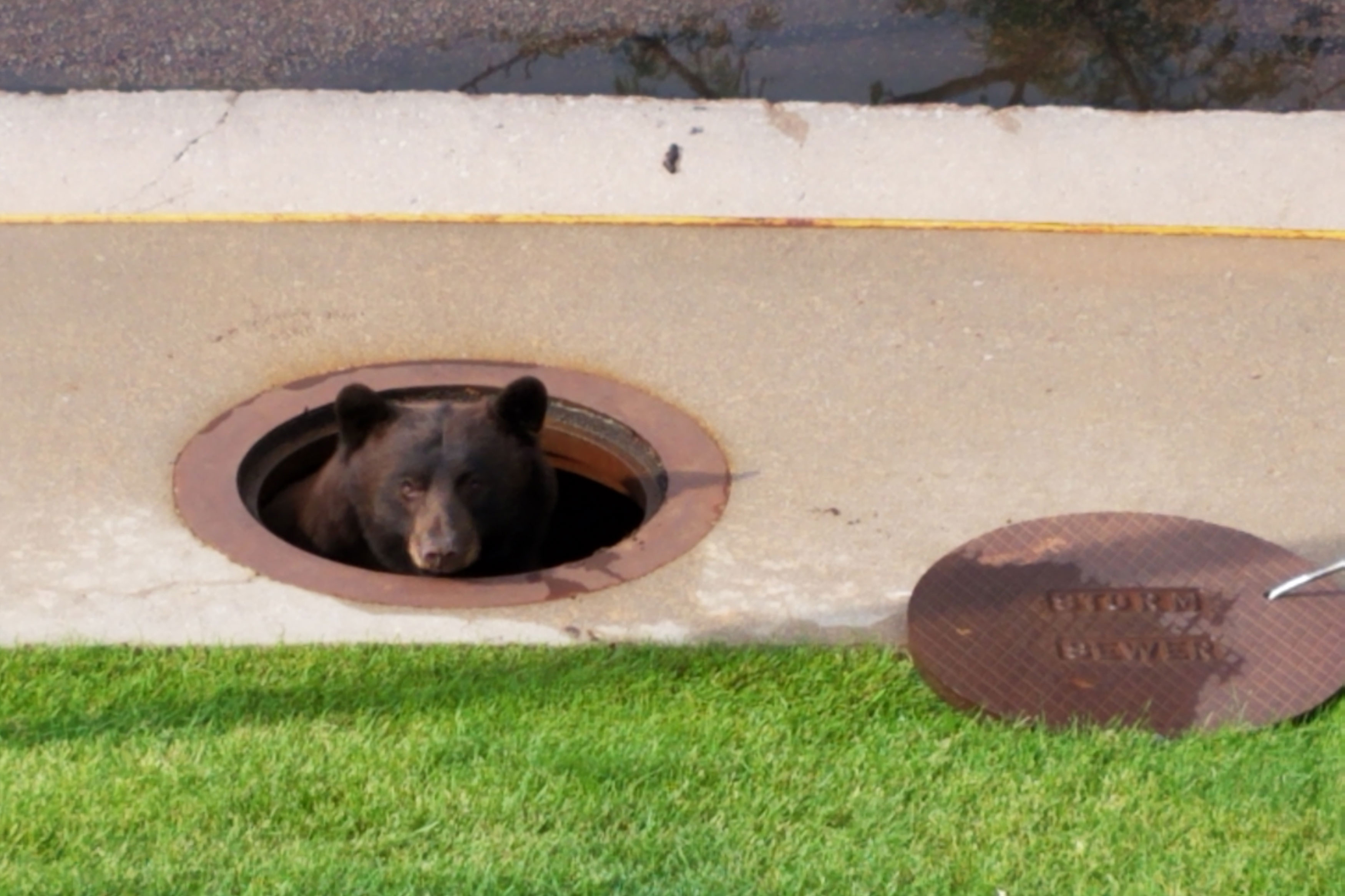 <p>A bear peeks out of a manhole to the storm sewer in west Colorado Springs, July 26, 2018.</p>