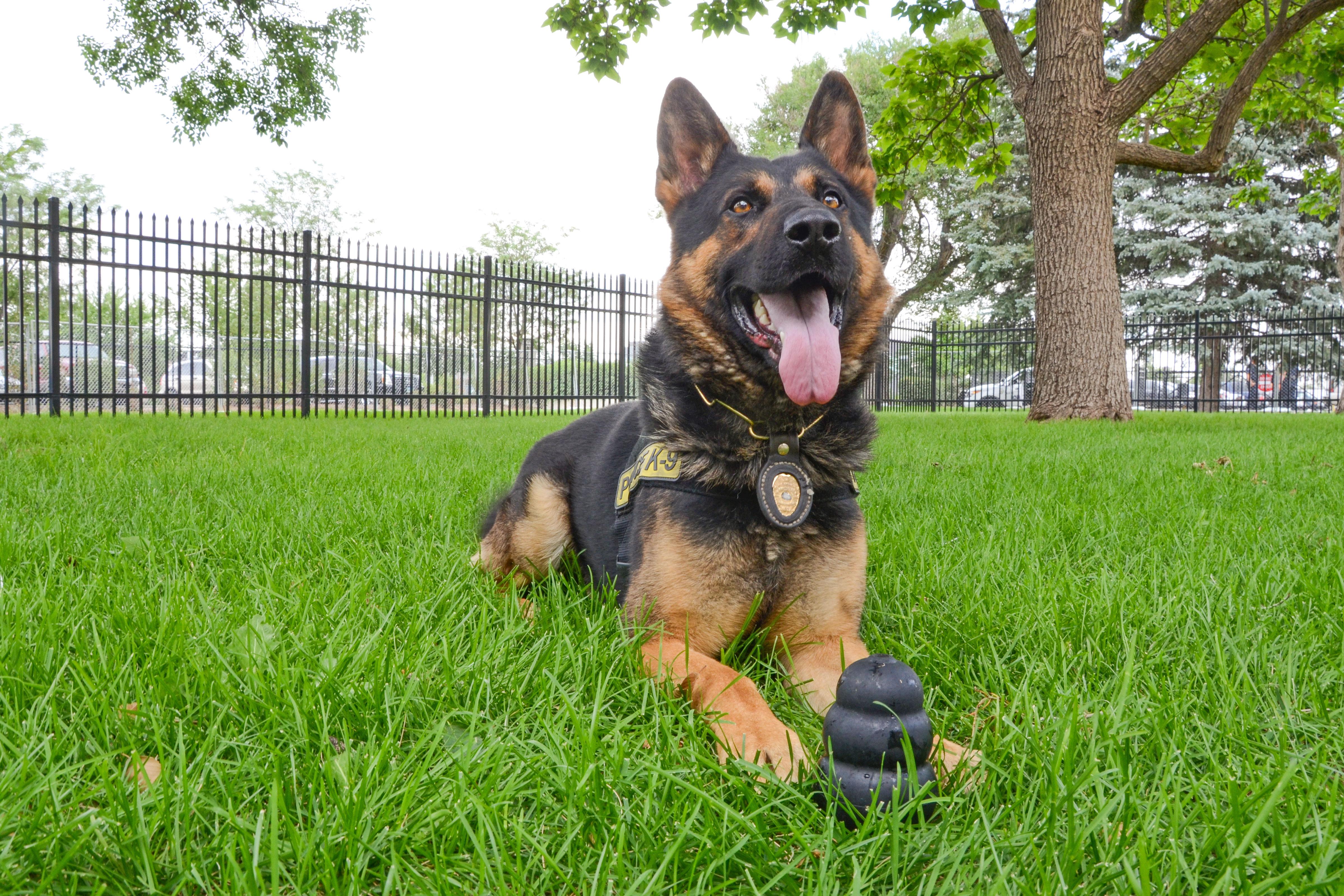Photo: Pot-Sniffing Dogs 1 | Aurora PD Dog Deuce - SBrasch
