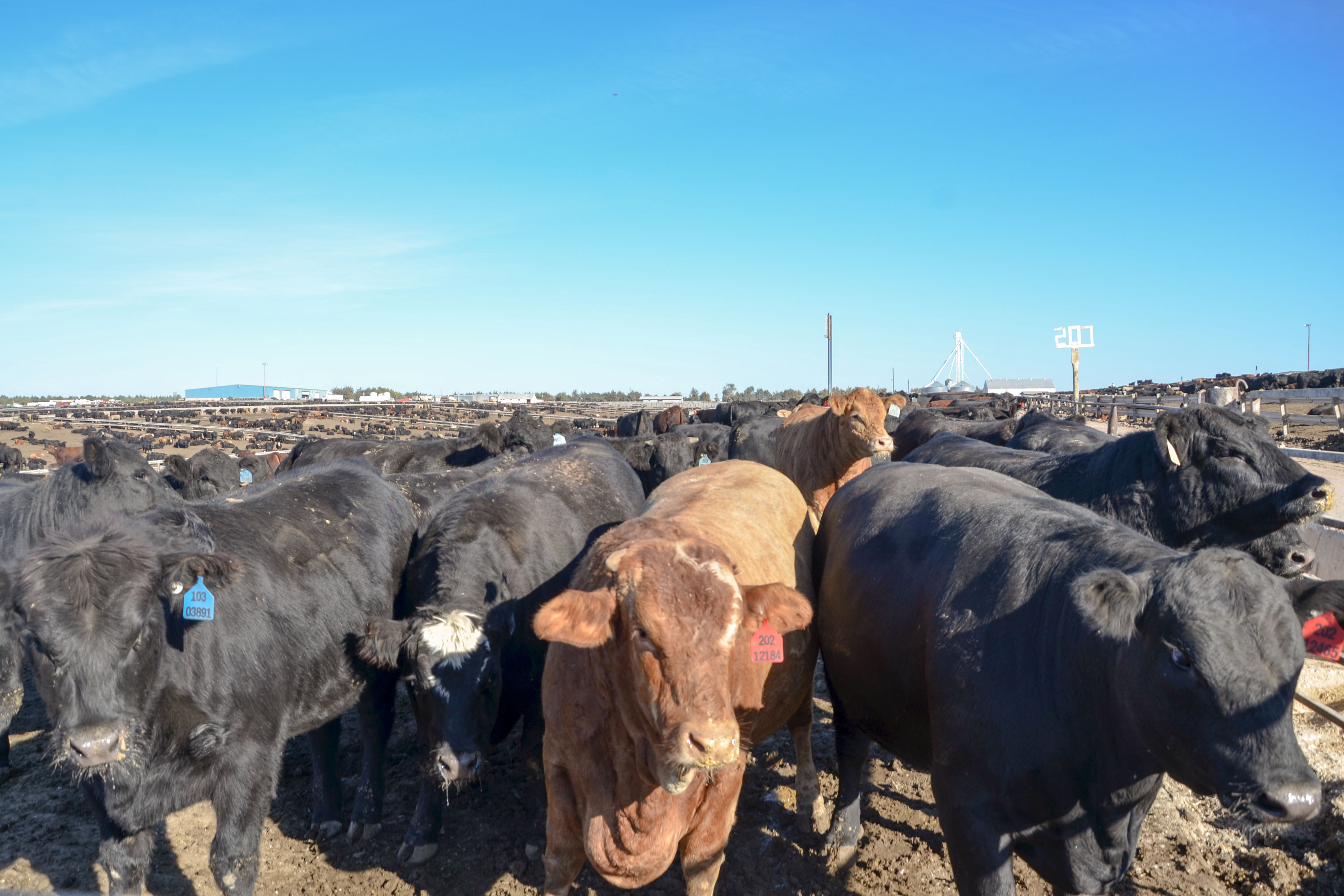 Photo: Feedlot Fish Kill 1 | Cattle At 5 Star Feedlot - SBrasch