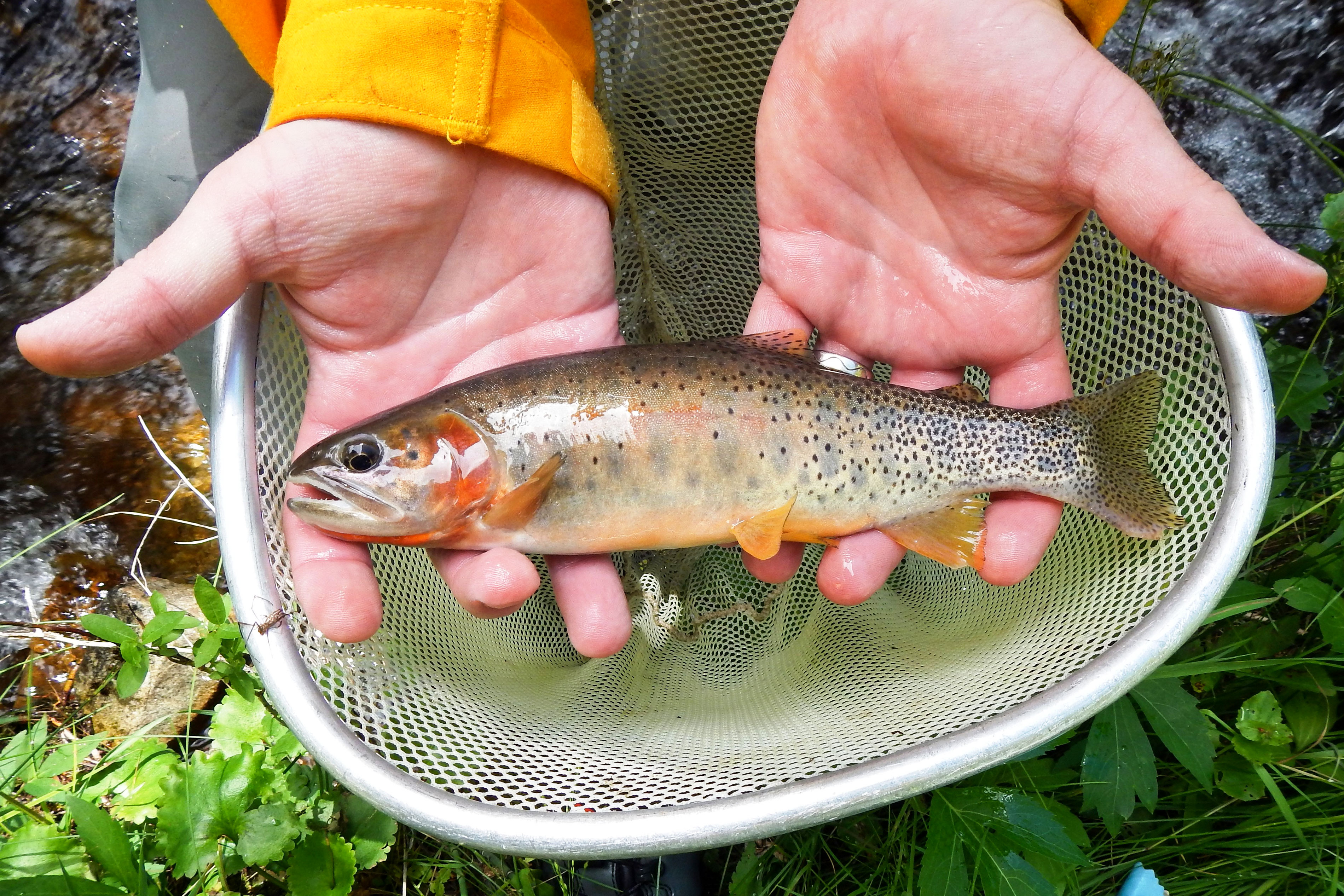 Photo: Hayden Creek Trout 4 | South Prong Hayden Creek Trout - Courtesy