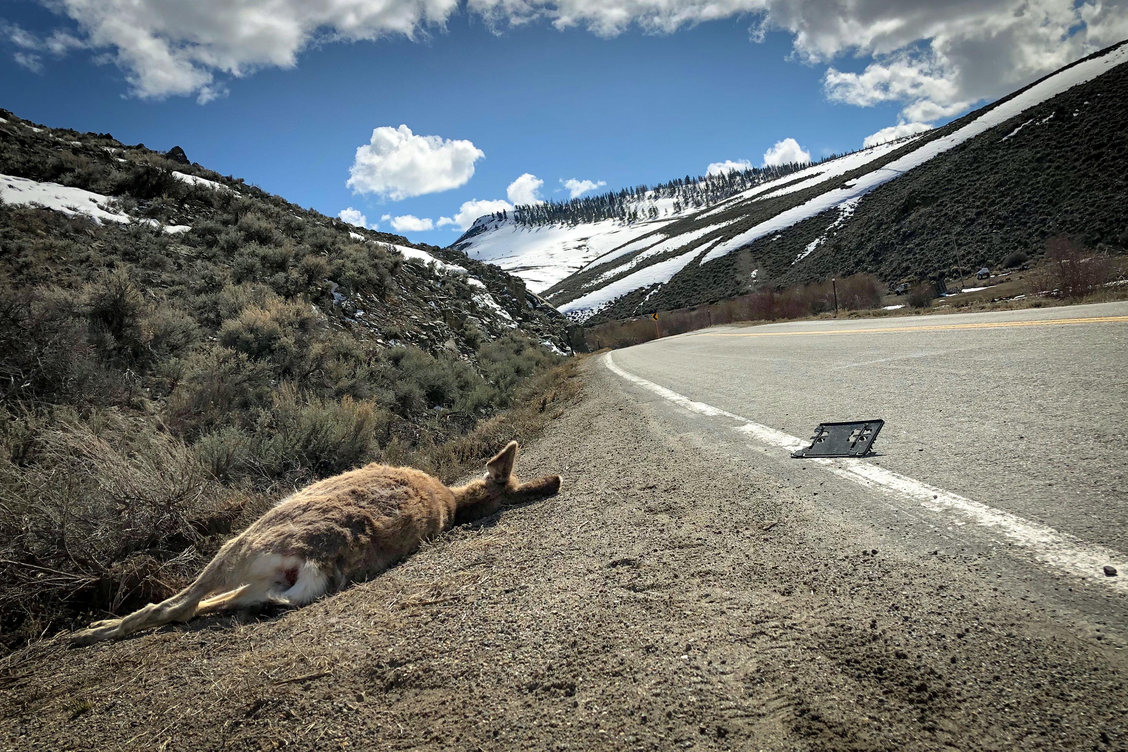 Photo: Colorado Roadkill 1 | Roadside Deer - CPW Courtesy
