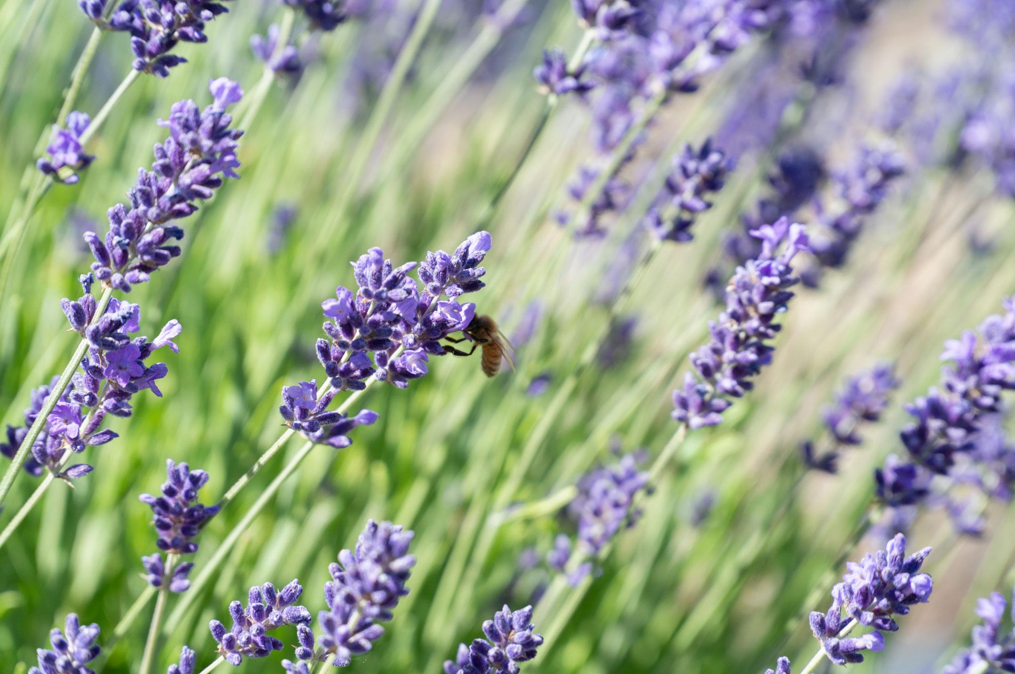 Photo: Western Slope Lavender Farming | Sage Creations Organic Farm
