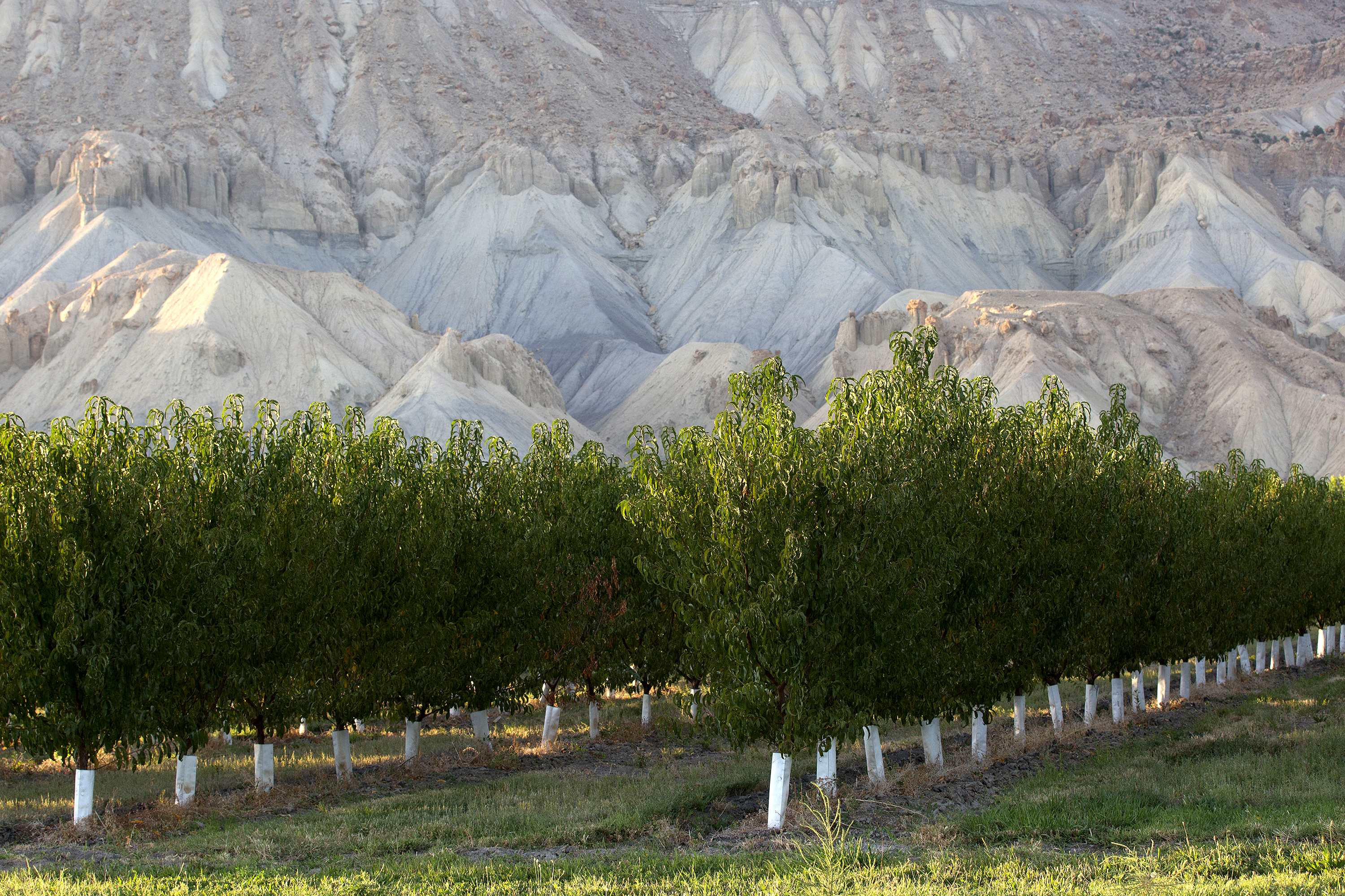 The Book Cliffs rise behind orchards in Palisade.