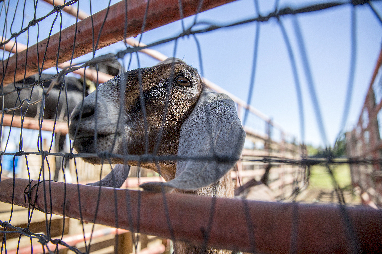 Photo: ELX 2018 Road Trip I70 38 | Grand Junction John Noyes Goats