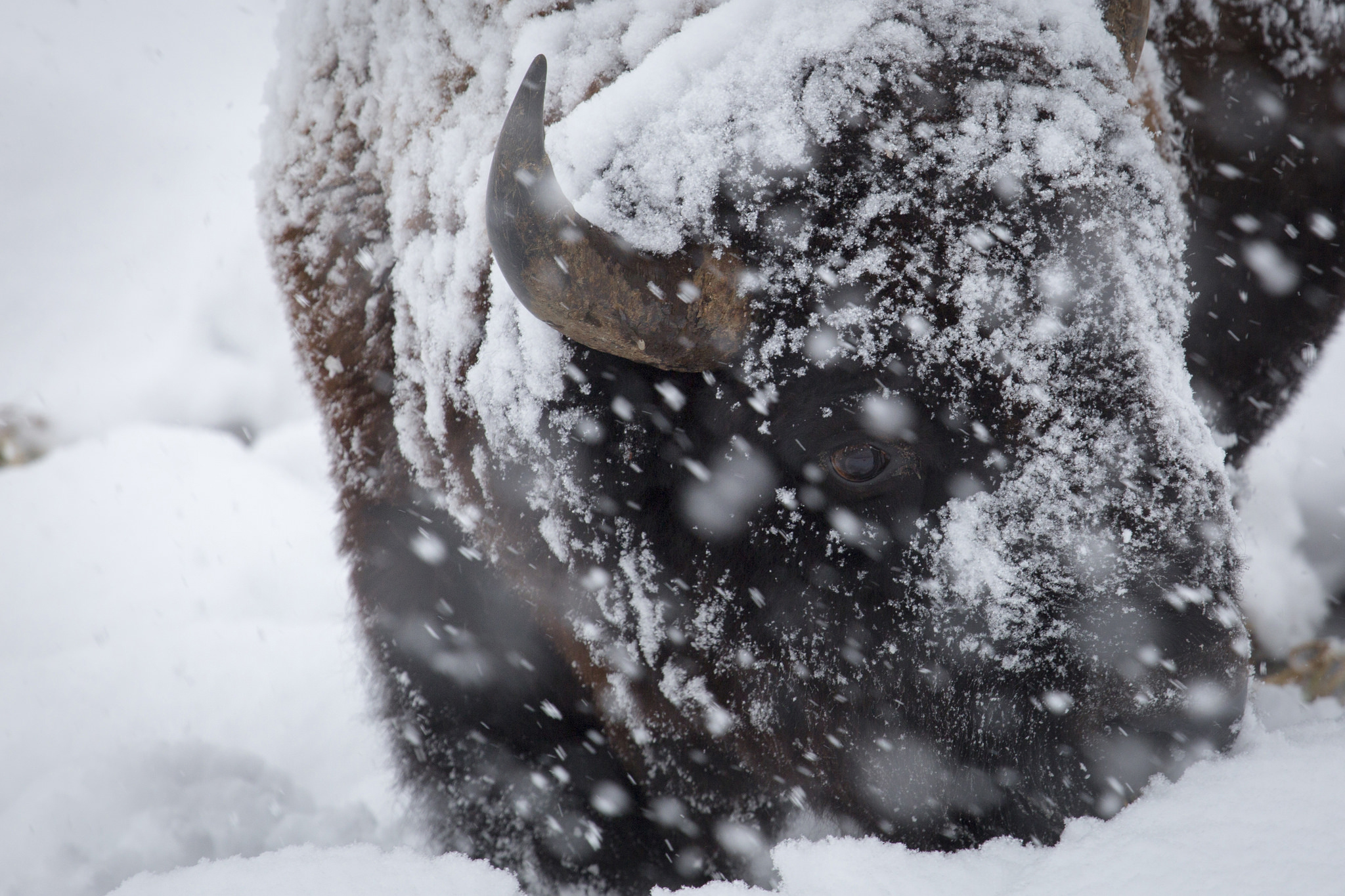 Photo: Bison, Tellowstone, Snow (Flickr/NPS)