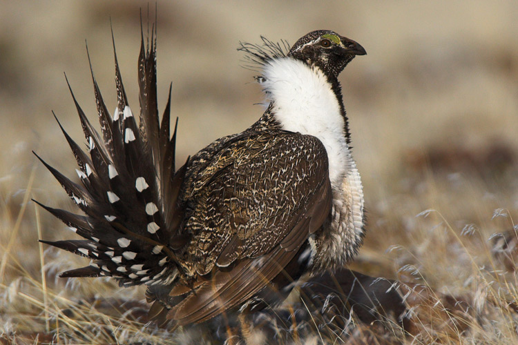 Photo: Greater Sage Grouse