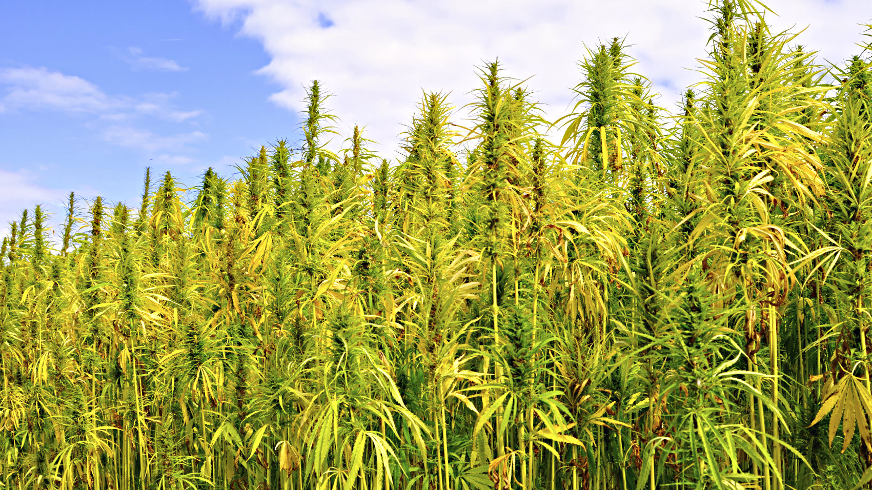 Photo: Hemp field from iStock