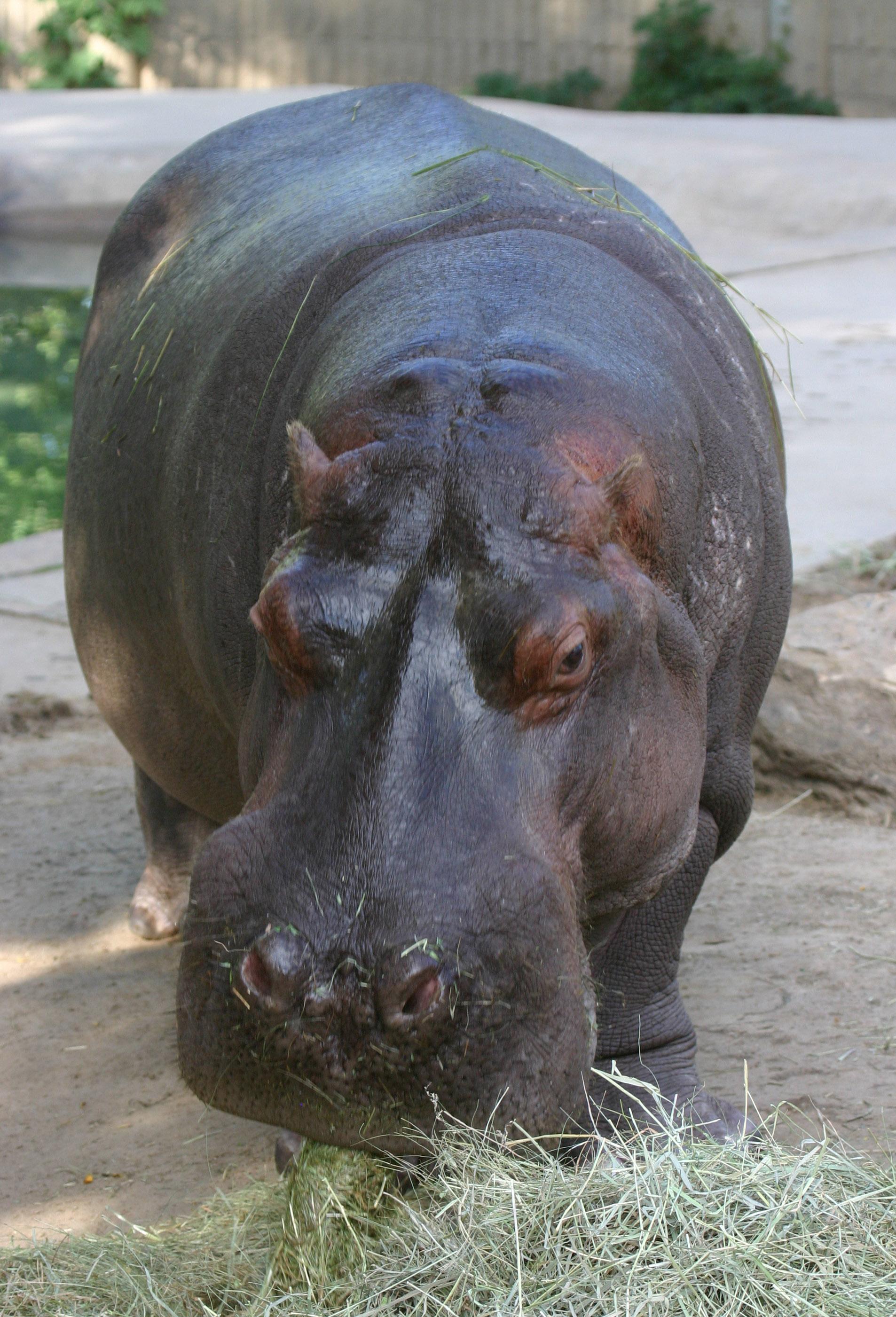 Photo: Bert the hippo
