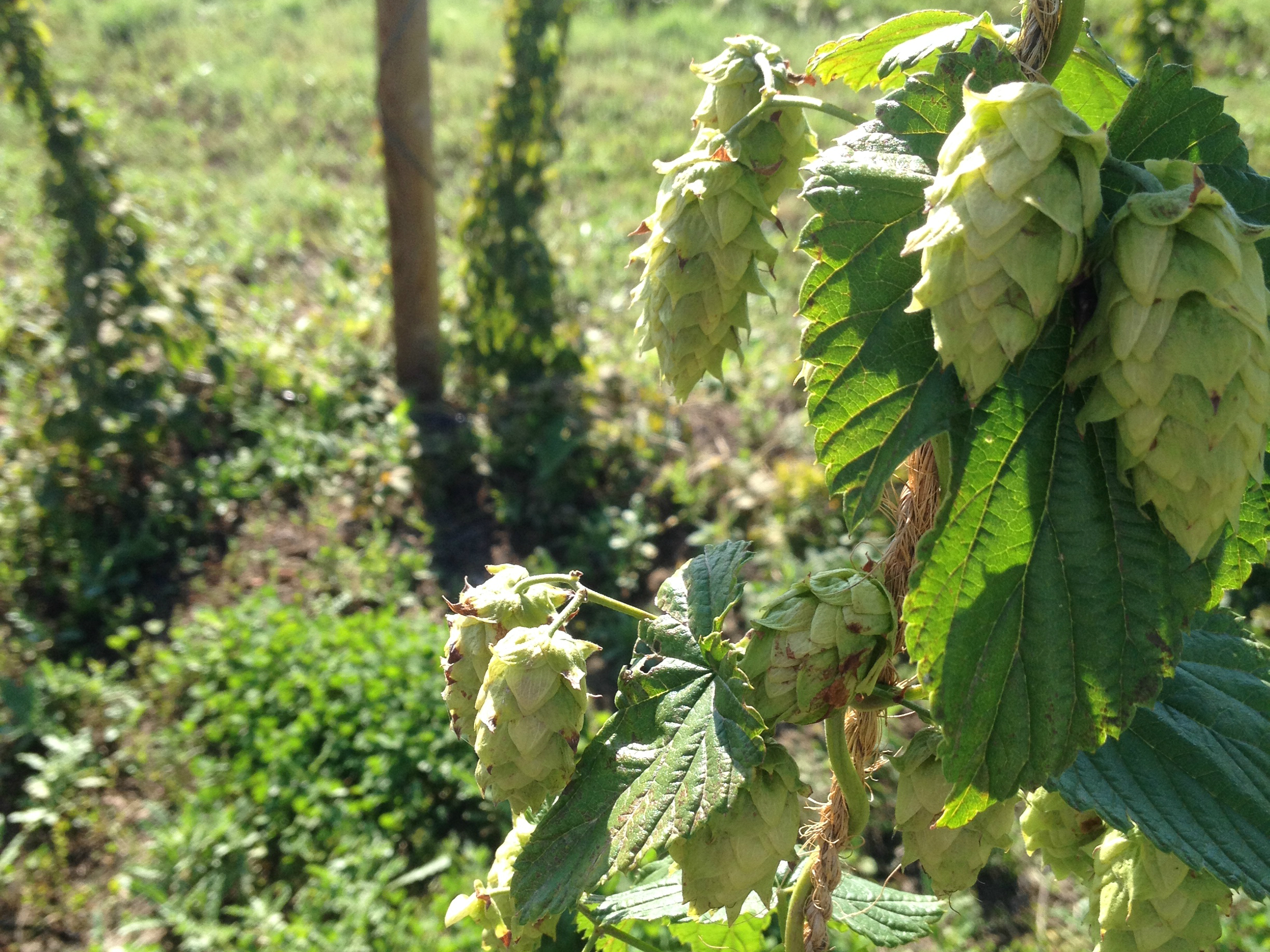 PHOTO: Hops on the Bine