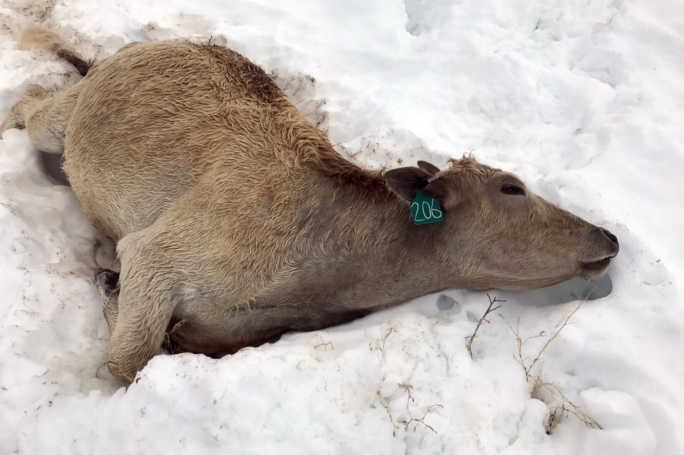 Photo: Cattle Die In Snow Storm