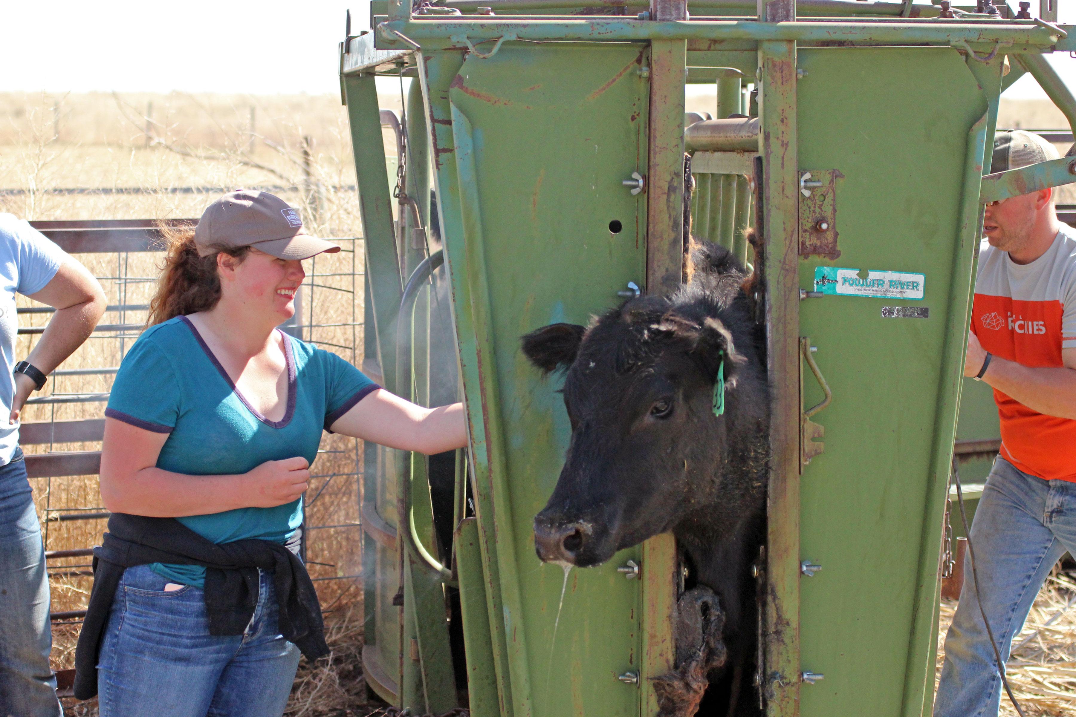 Photo: JeffCo Farm School 3 | Cow Vaccination