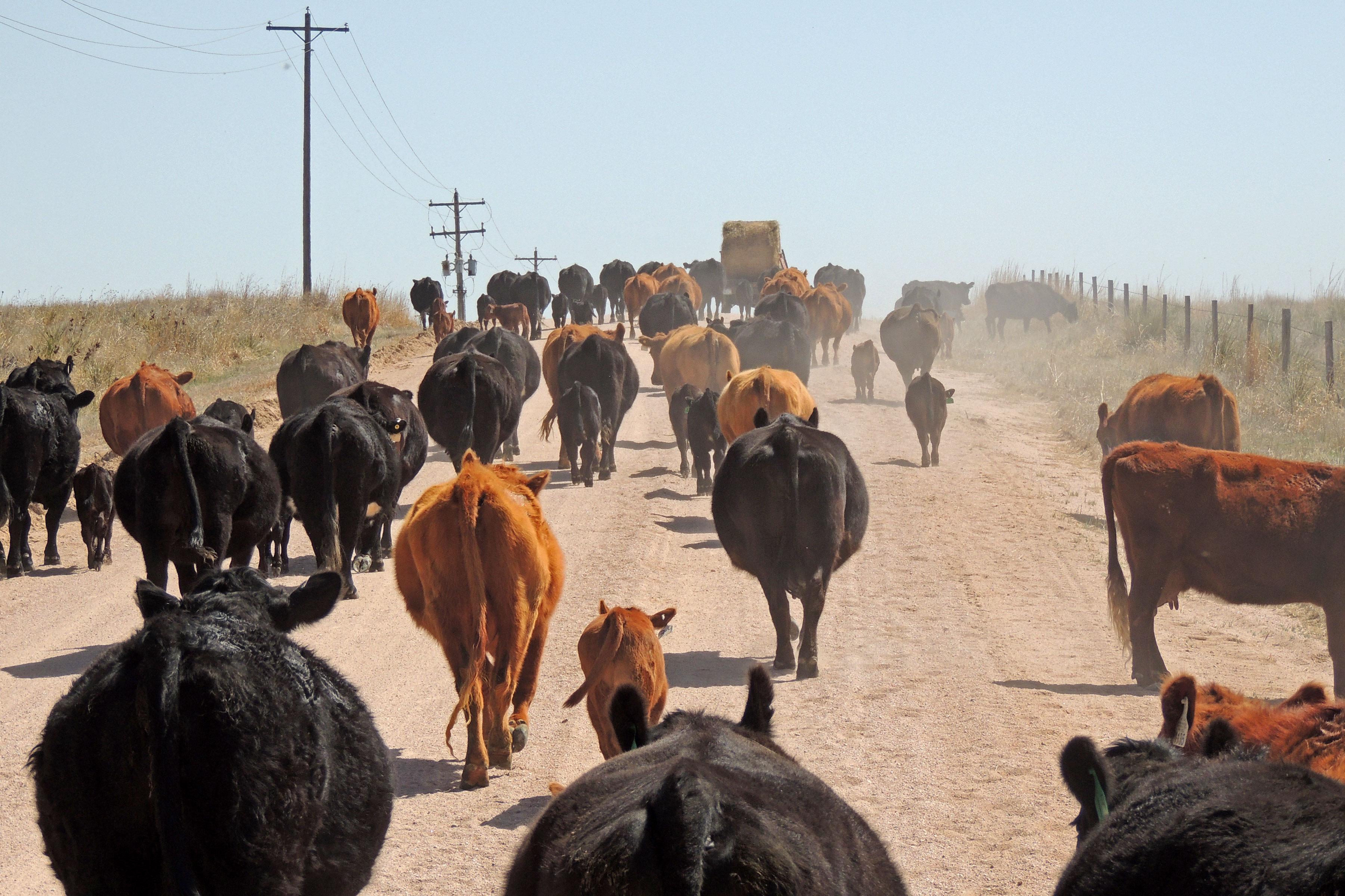 Photo: JeffCo Farm School 4 | Cattle