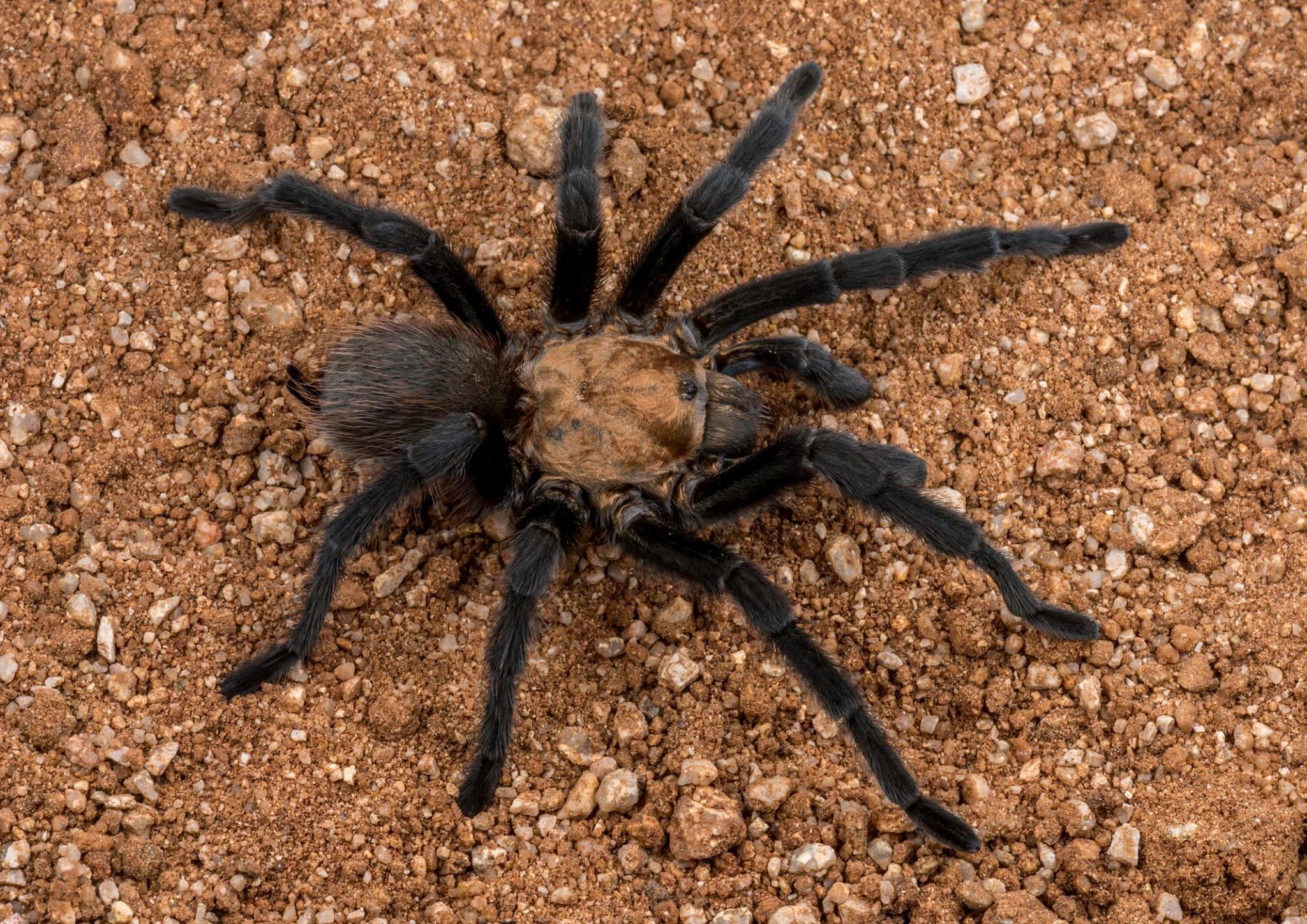 Photo: Colorado Tarantula