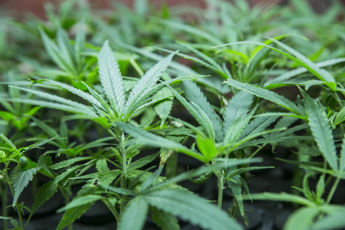 Photo: Marijuana plant July 2015