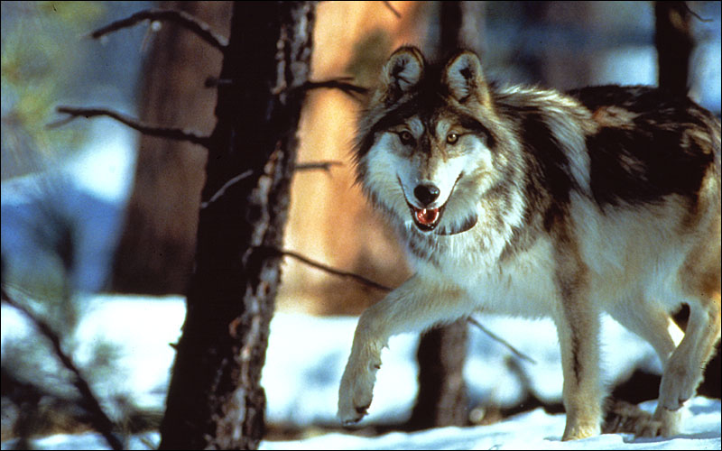 Photo: Mexican wolf