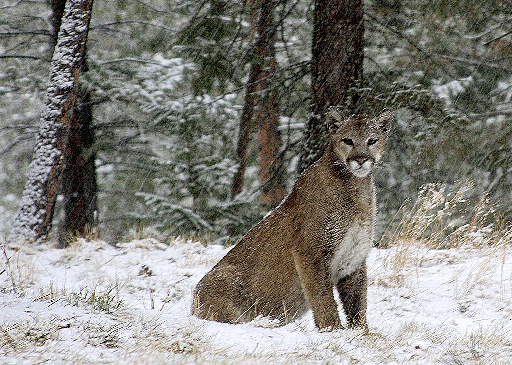 Photo: Mountain Lion