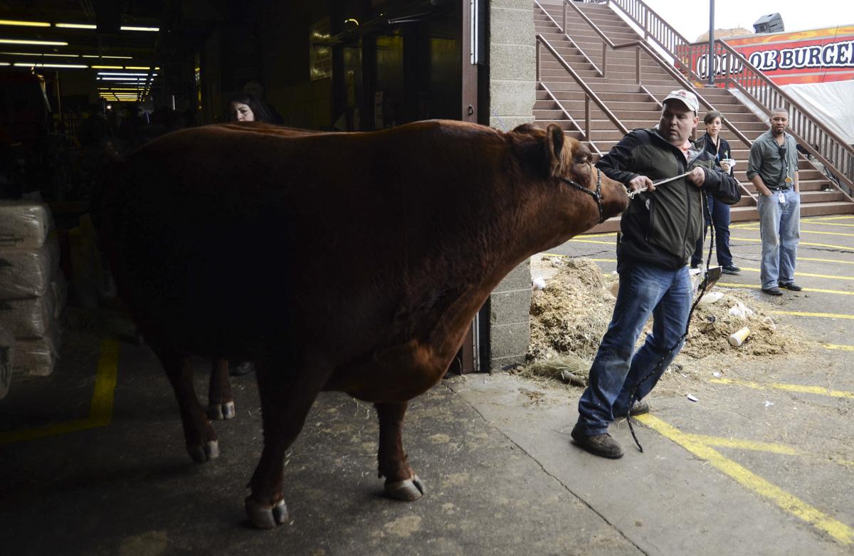 Photo: Stock Show 6 cow