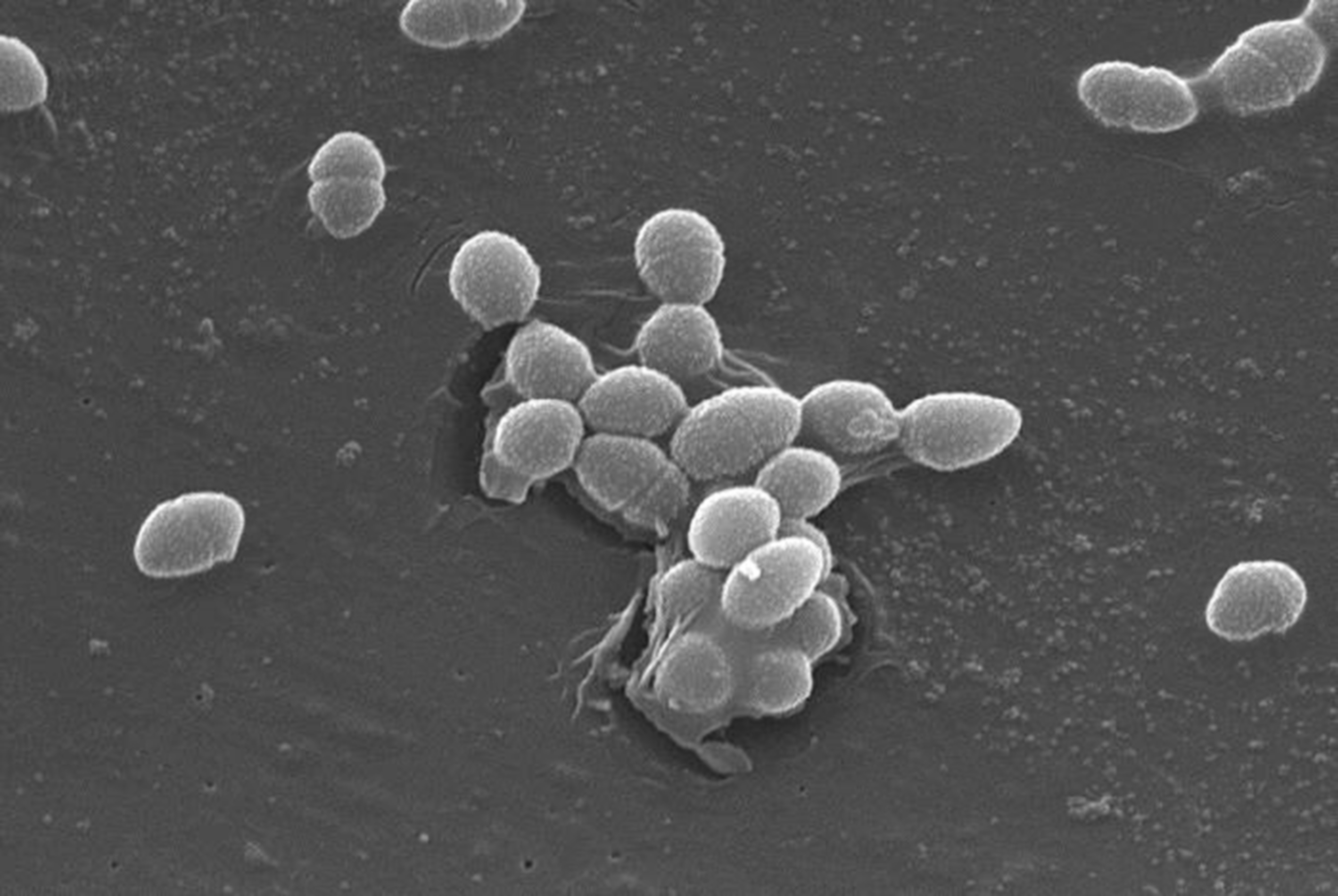 Photo:Gut Bacteria