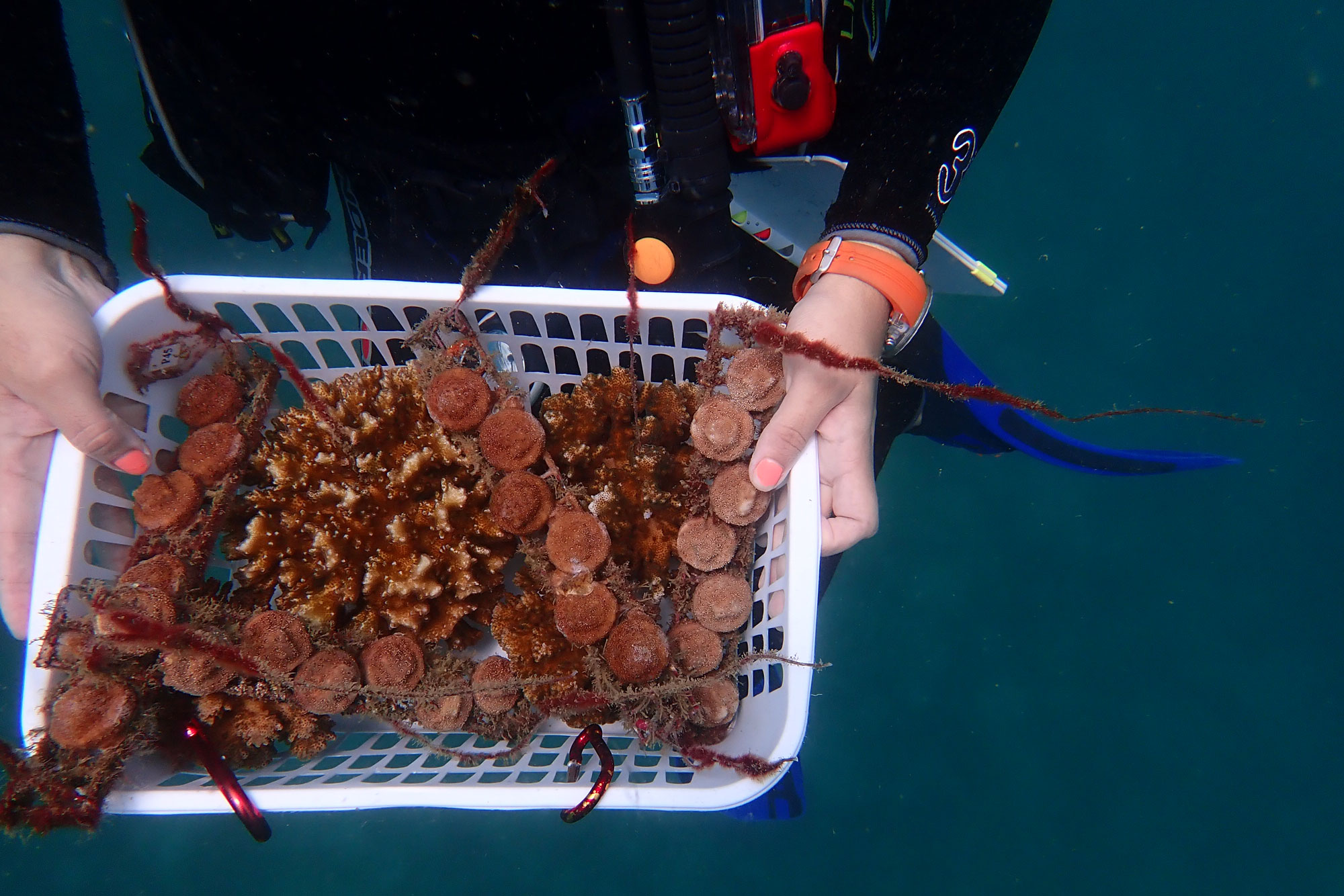 Photo: Coral Propagation - Joanie Kleypas