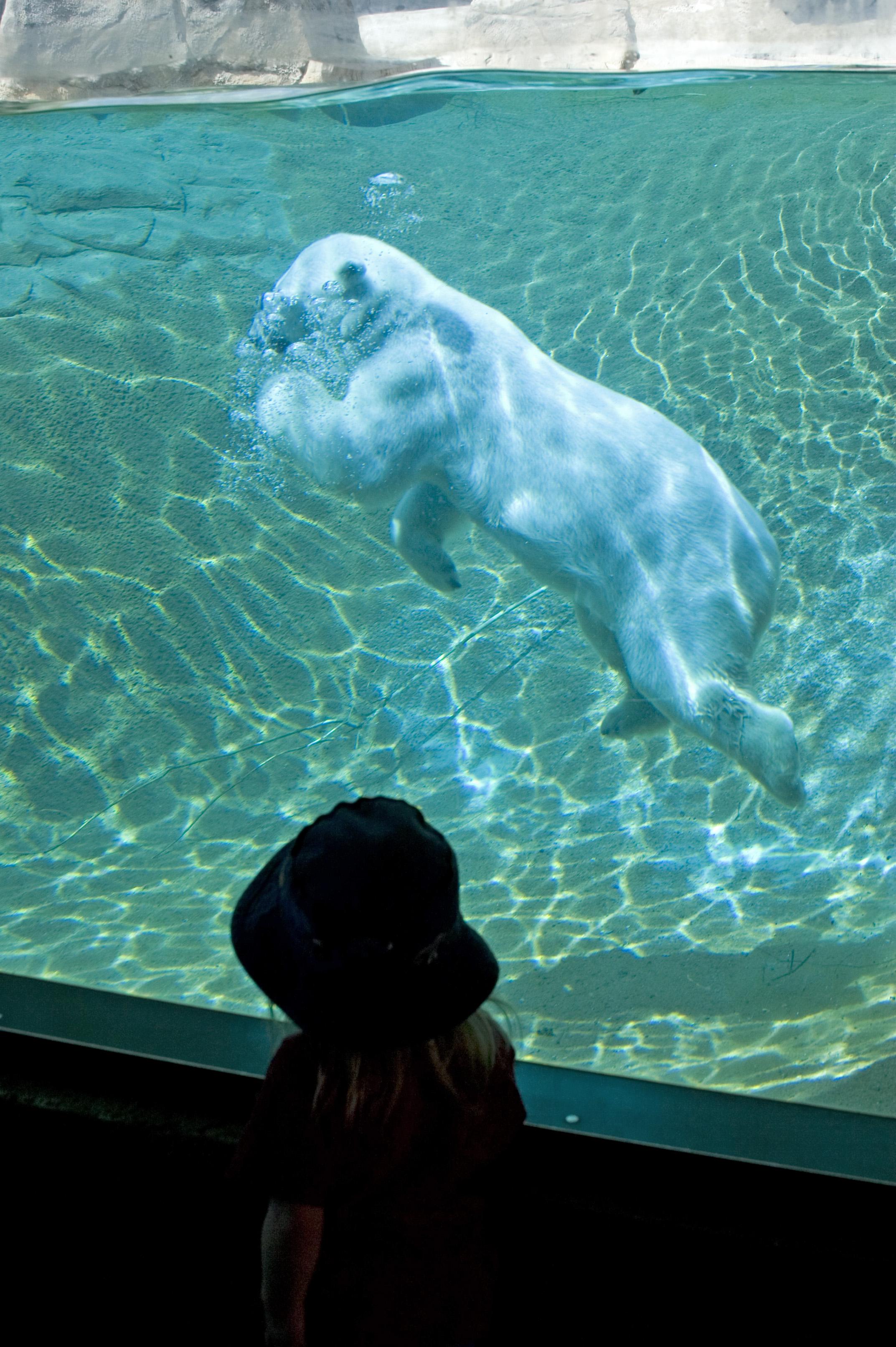 Photo: Vola The Polar Bear Swimming At The Denver Zoo