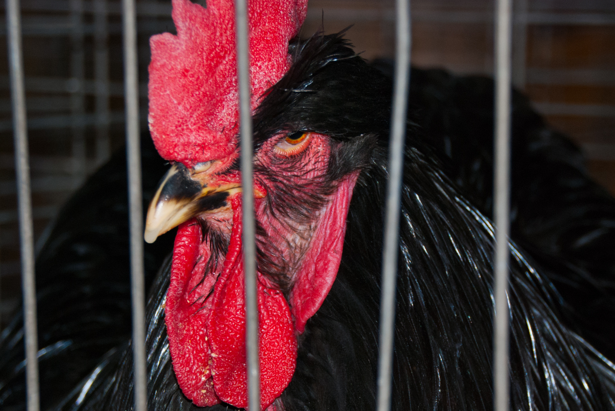Photo: 2015 State Fair Rooster
