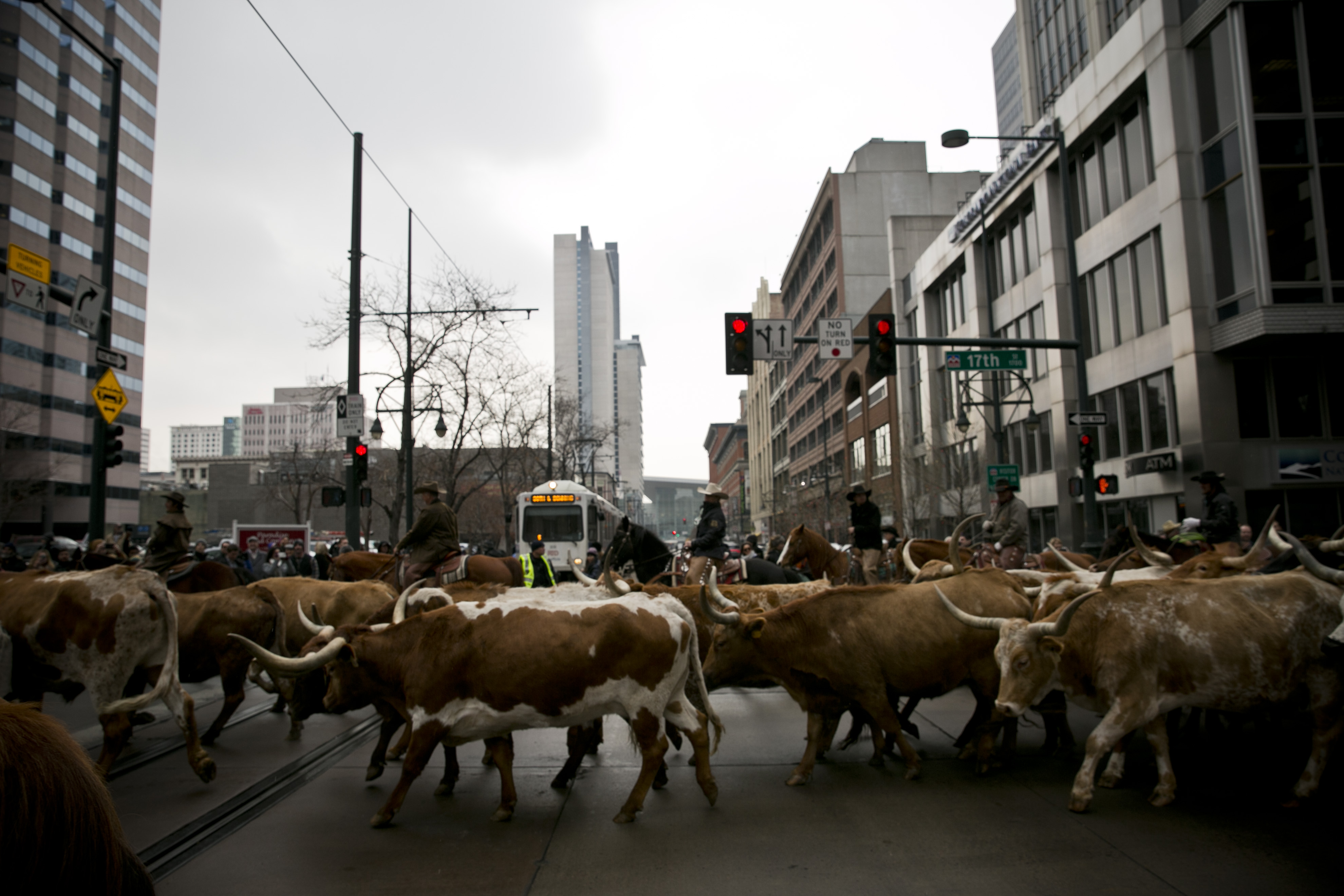 Photo: Stock show parade 8 | Steers cross tracks