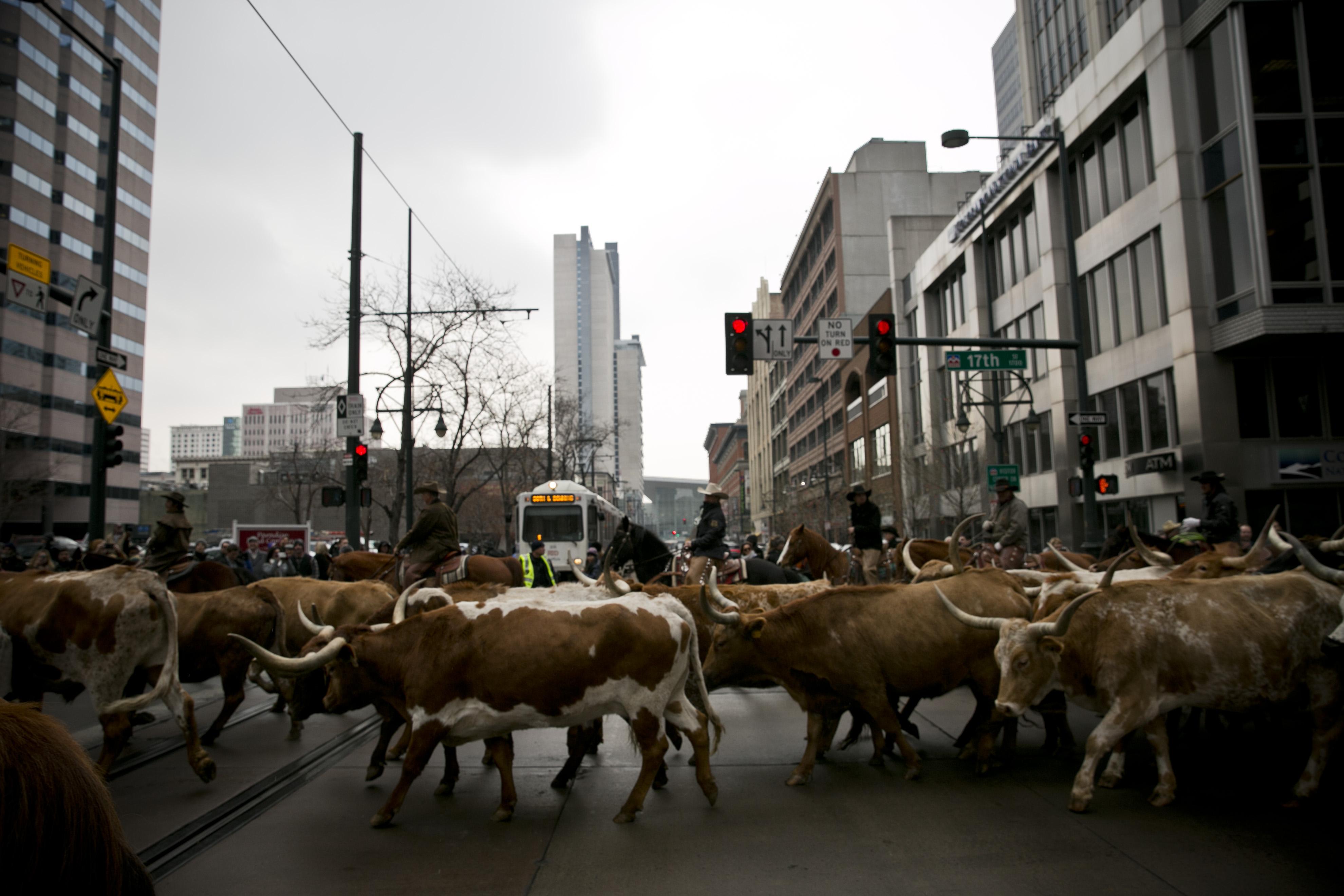 Photo: Stock show parade 8   Steers cross tracks