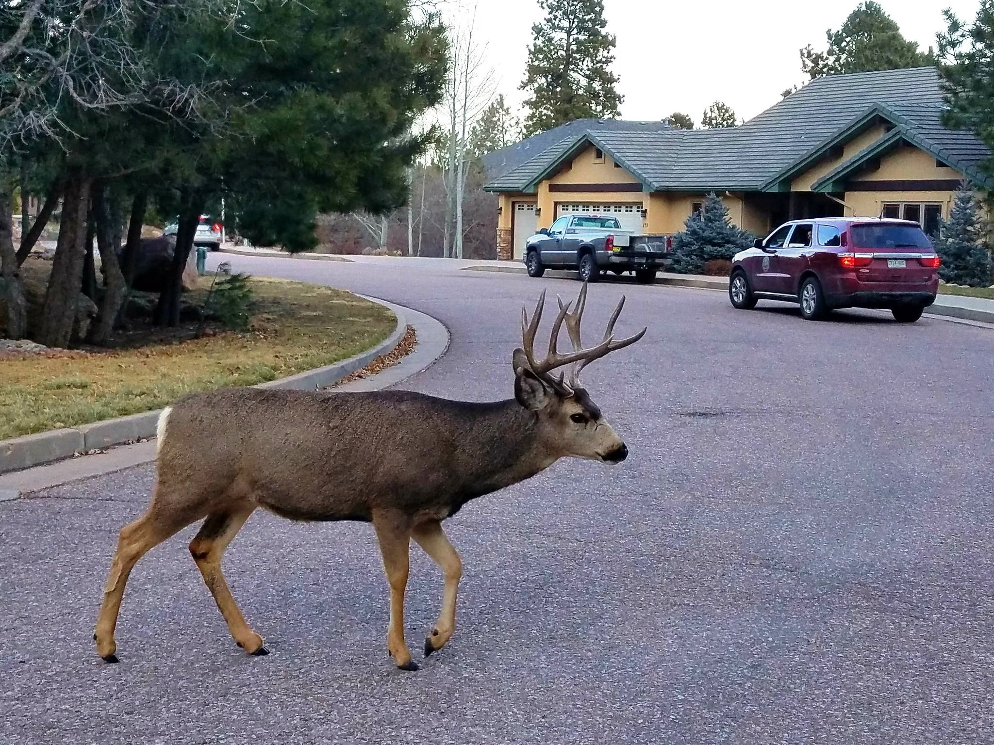 Deer Hunting: Coming To Your Colorado Hometown?