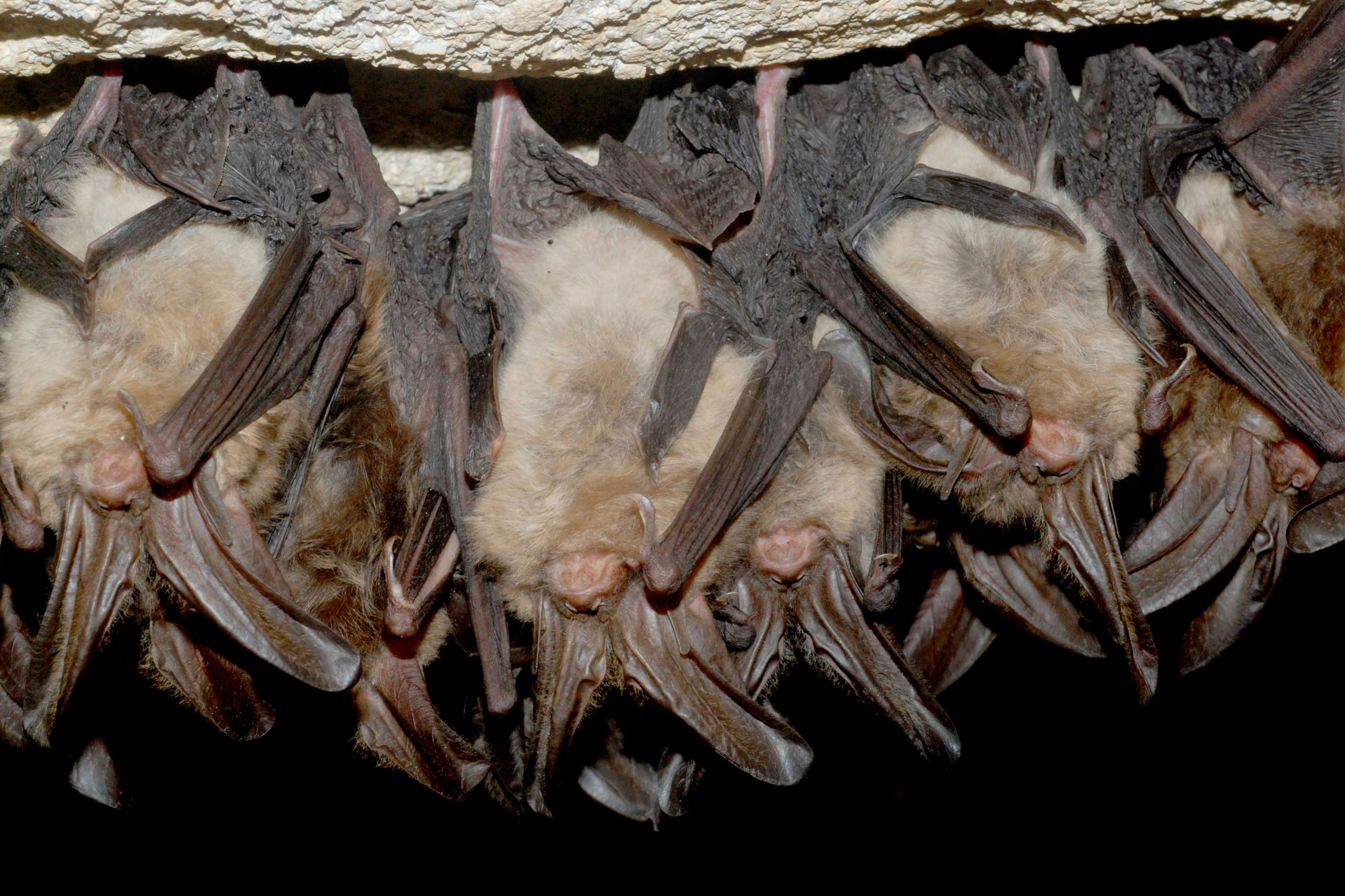 Photo: Wildsounds | Healthy Virginia big-eared bats - USFWS