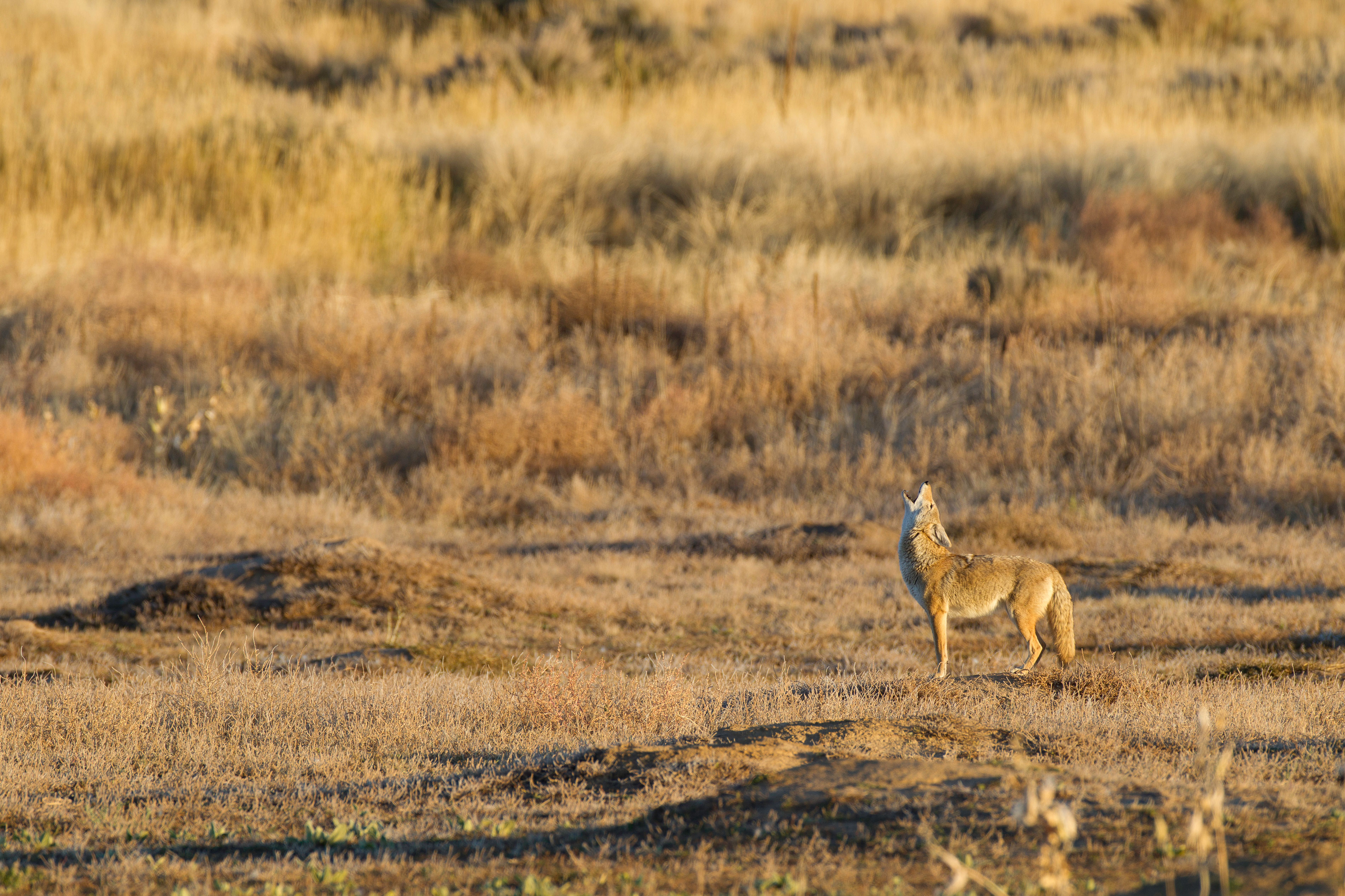 Photo: Wildsounds | Howling Coyote - USFWS