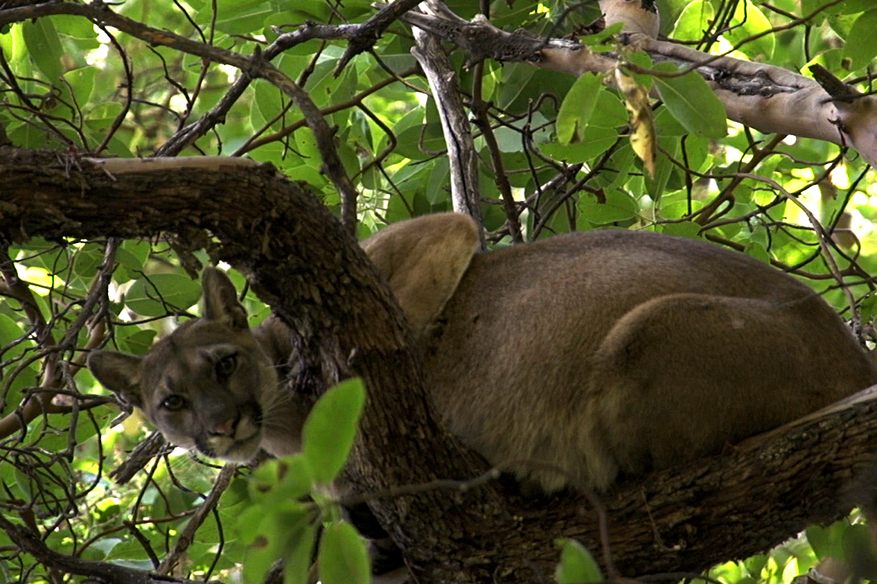 A mountain lion perches in a tree before getting a tracking collar from the Santa Cruz Puma Project. Foothills communities in Colorado are on high alert after several mountain lion sightings.