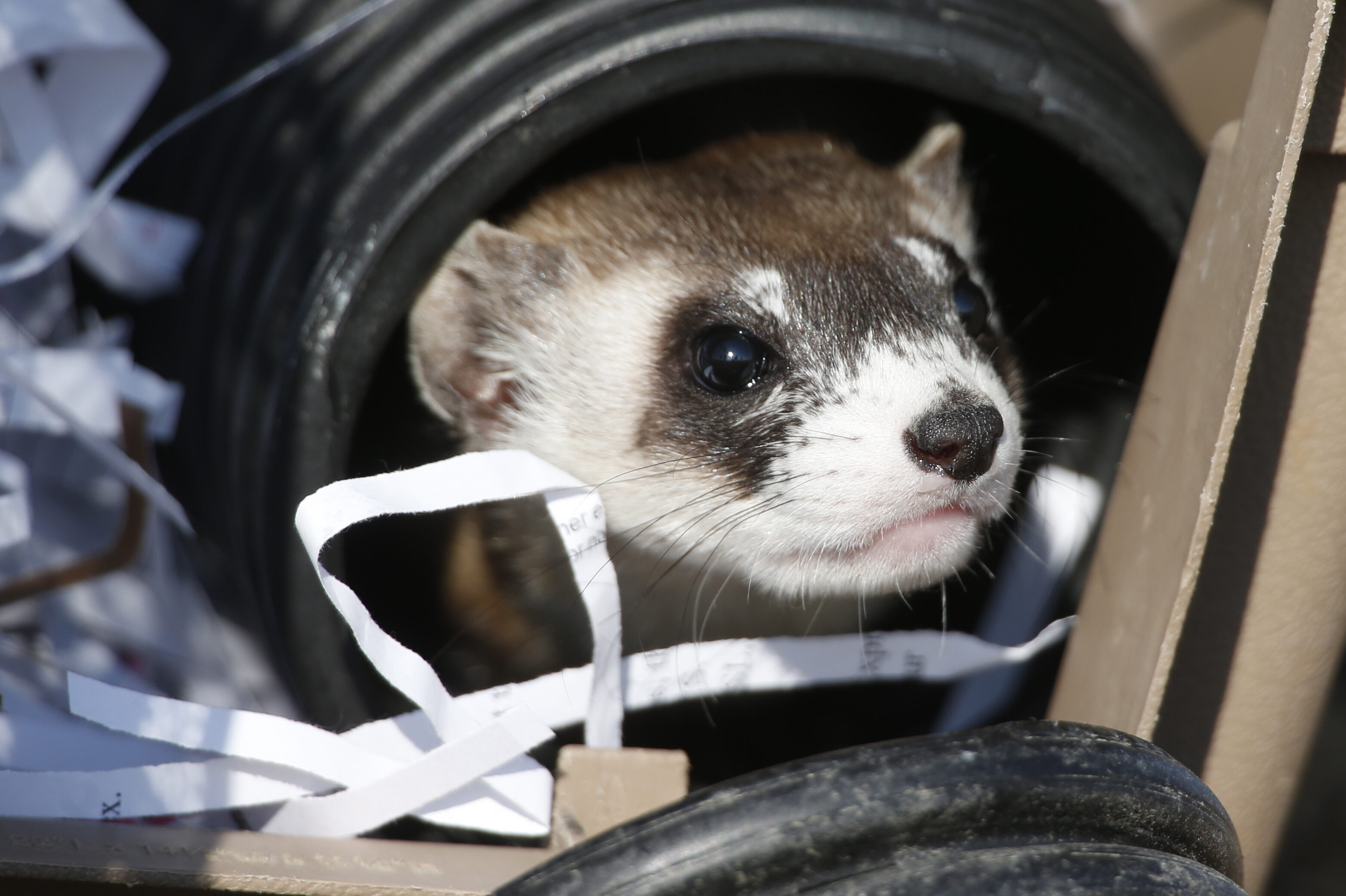 Black-footed ferret looks to leave carrier during a release of 30 ferrets by the U.S. Fish and Wildlife Service Monday, Oct. 5, 2015, at the Rocky Mountain Arsenal National Wildlife Refuge in Commerce City, Colo.