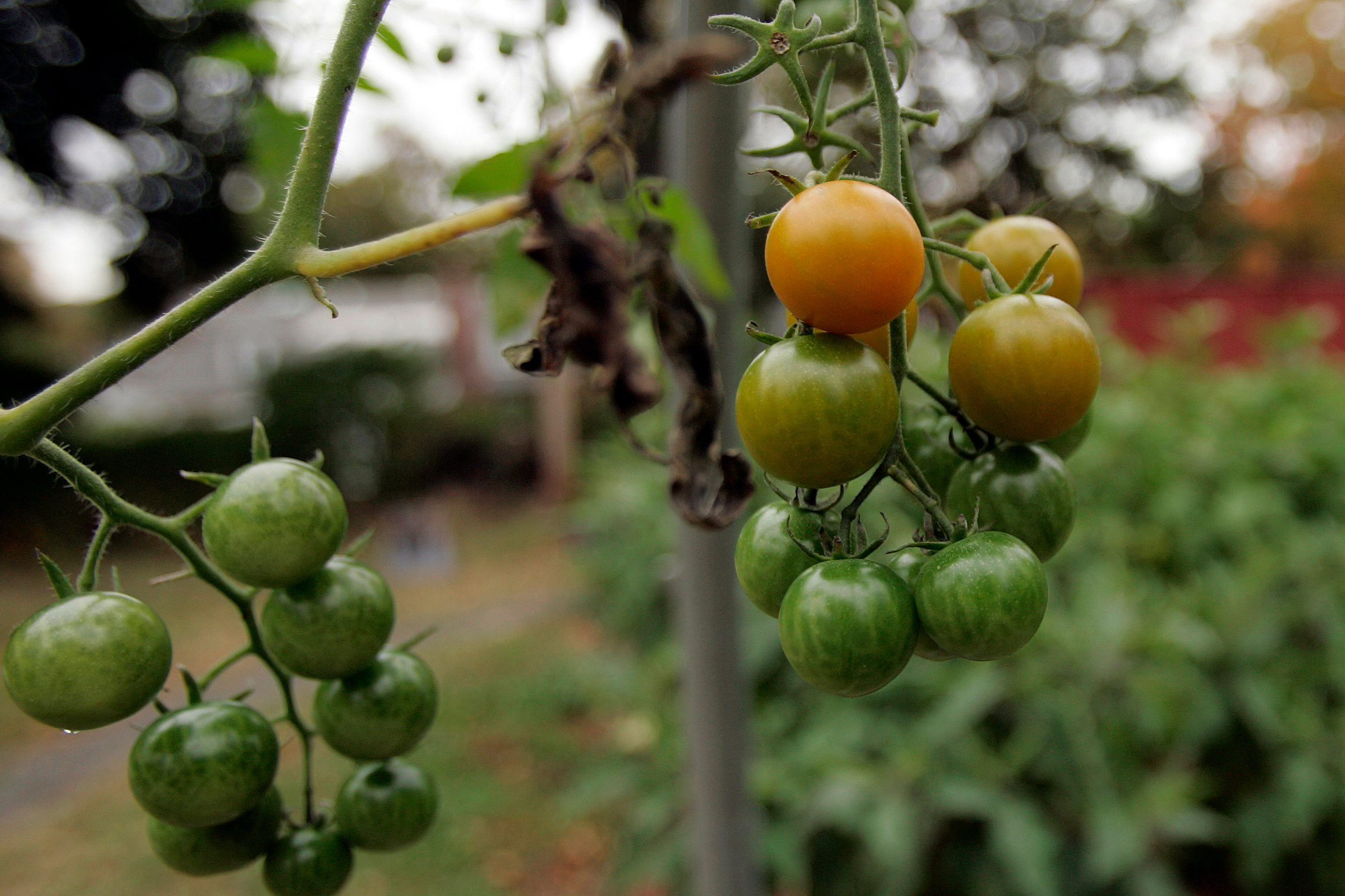 Organically grown tomatoes hang from a vine at the organic garden on the edge of the Yale University campus in New Haven, Conn., Wednesday, Oct. 24, 2007.