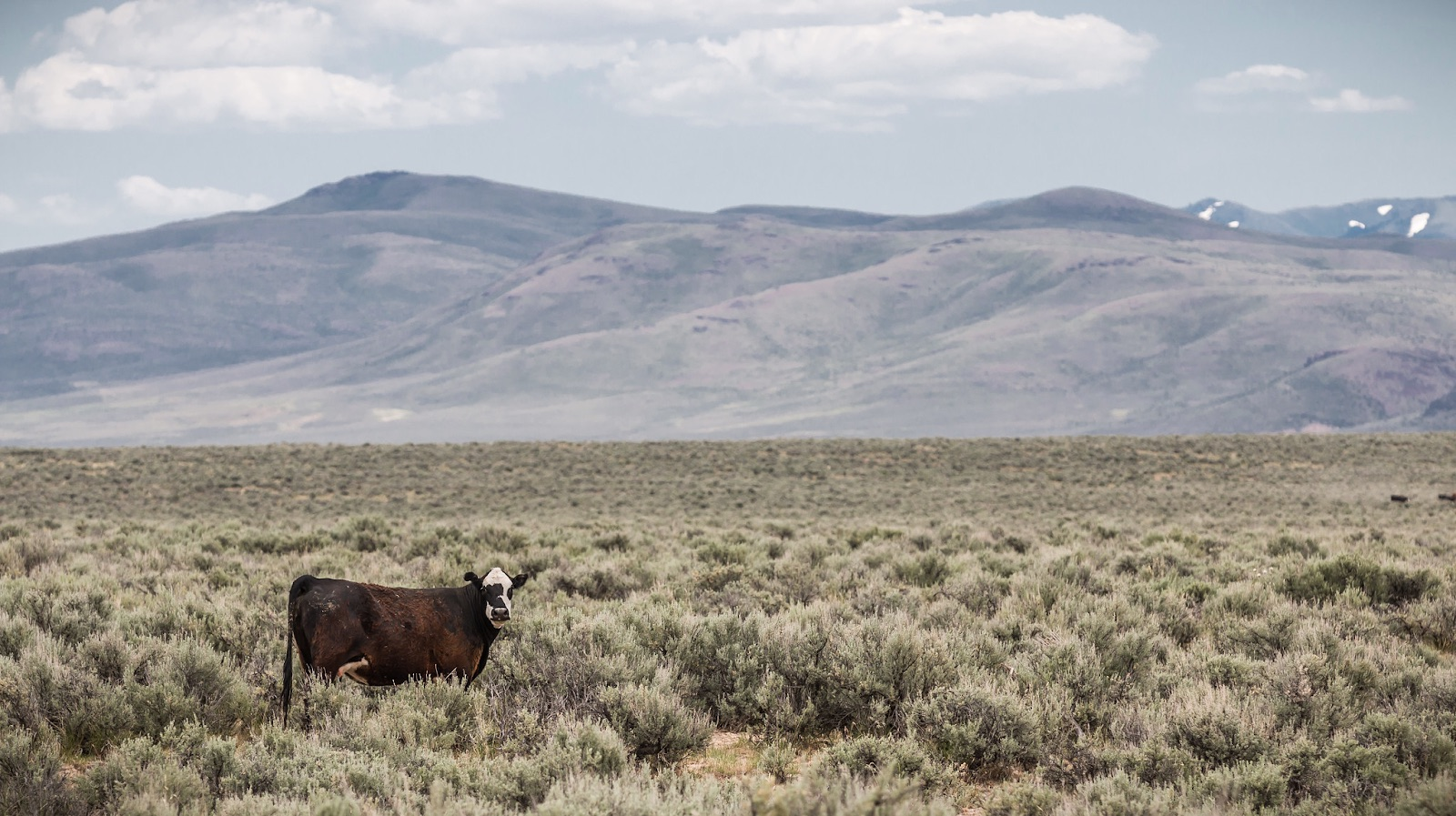 Cattle grazing on BLM land in Oregon